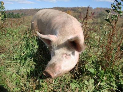 Pigs10.jpg