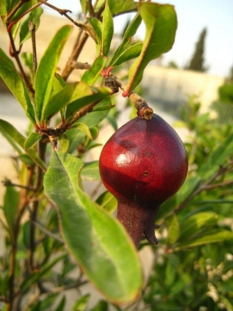 Pomegranate, Yemin Moshe, Jerusalem, Photograph by Joe Goldberg via Wikimedia Commons.