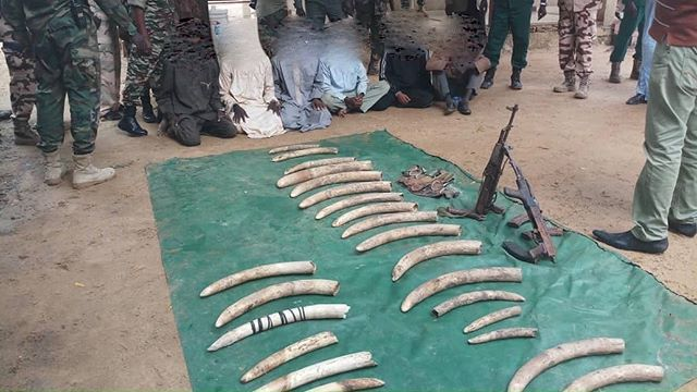 #BreakingNews Six suspects caught with 25 tusks and automatic weapons near the town of Pala, Chad. This follows the poaching in the nearby reserve of Binder-Léré of August 6th when several elephants were killed, and rangers attacked. The suspects say they sell ivory on at about 60 USD per kilo (ie less than 10 per cent of the blackmarket price in Asia) . There are only about 100 elephants left in Binder-Léré - some 40 were killed in a previous attack in 2018 . #EndWildlifeCrime #StopIvoryTrade #Chad #elephants #wildlife #antipoaching