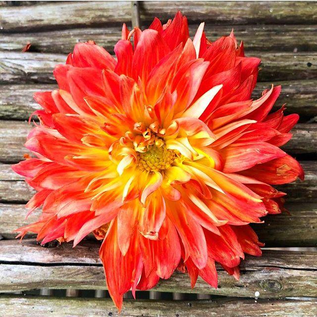 Salvador Dahlia #orange #savior #dahlia #orange #bizarreobsessionwithorange🍊 #christo4masonphotography📸