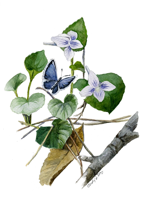Long Spurred Violets