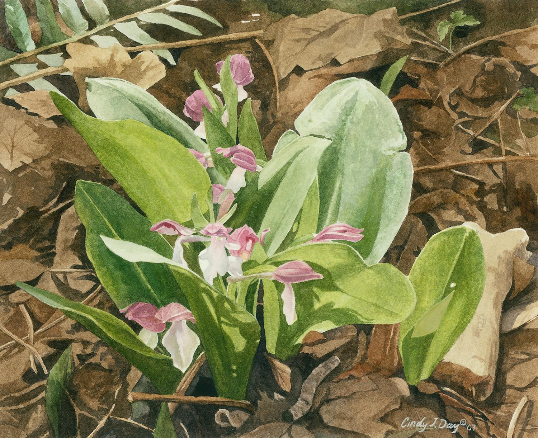 Sunlit Showy Orchid