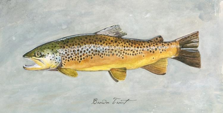 Brown Trout 1-up.jpg