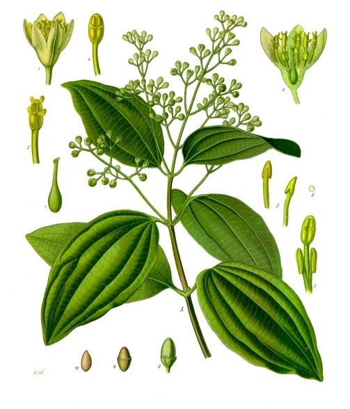 Photo Credit:  Franz Eugen Köhler, Köhler's Medizinal-Pflanzen - List of Koehler Images, Public Domain, https://commons.wikimedia.org/w/index.php?curid=255523