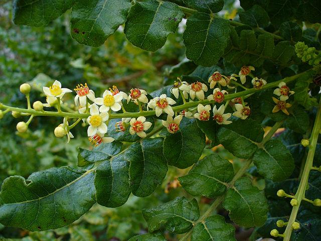 Photo Credit:  Scott Zona, Boswellia sacra, https://commons.wikimedia.org/w/index.php?curid=5409339