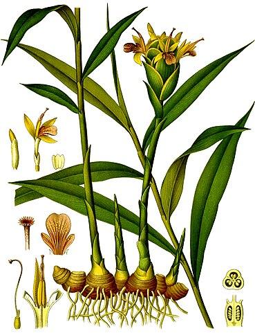 Photo Credit: Franz Eugen Köhler, Köhler's Medizinal-Pflanzen - The Internet Archive List of Koehler Images, Public Domain, https://commons.wikimedia.org/w/index.php?curid=5111564