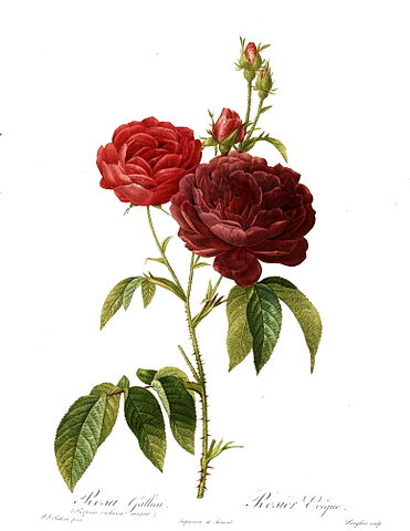 """Photo Credit:By """"Les Roses"""" by Pierre-Joseph Redouté, https://commons.wikimedia.org/w/index.php?curid=8680991"""