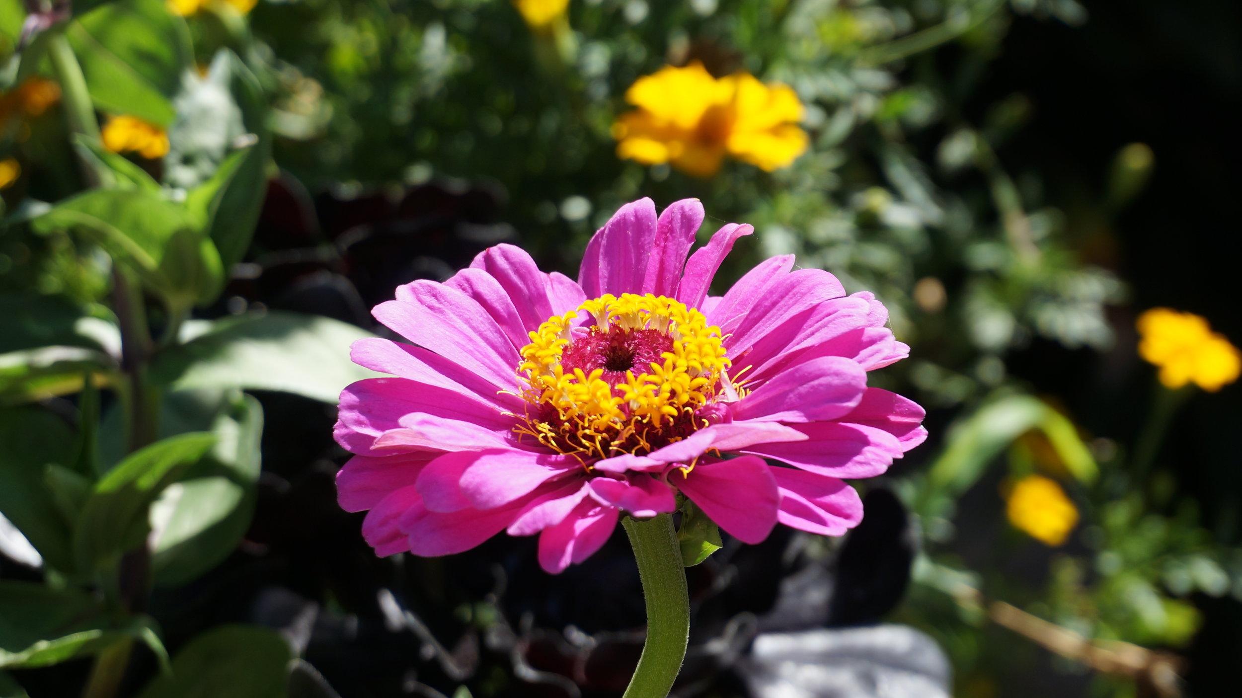 pinksunflower.jpg