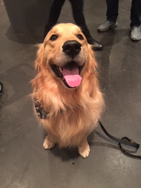 @bandanajax - Jax Teller Morrow. Golden Retriever. Loves balls.As you can see here, his smile is infectious.