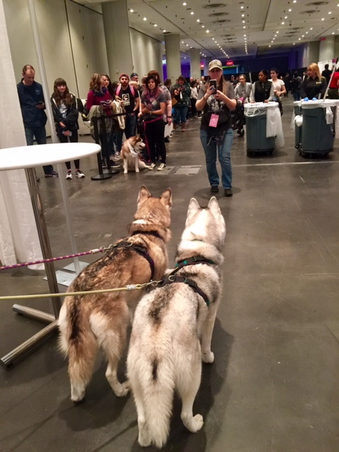 @Gonetothesnowdogs - These two famous huskies are taking a look at the line of adoring fans waiting to meet them. Smile for the camera!