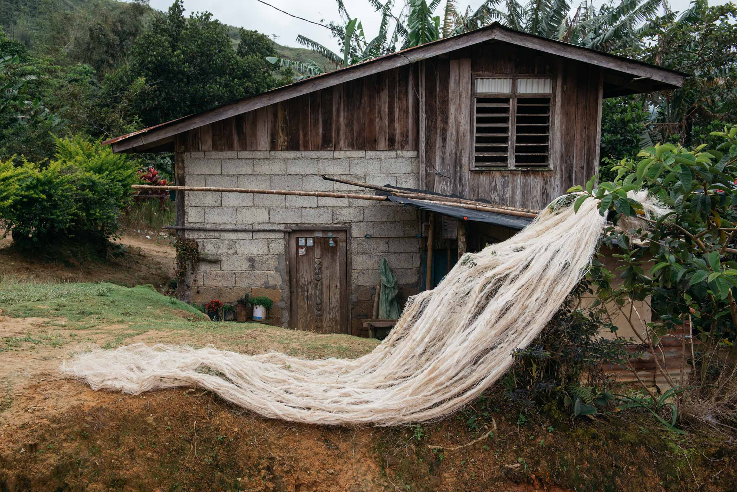 Abaca serves as Sitio Manalog's primary means of survival. Within those 222 families, most depend on abaca trees as their source of livelihood.