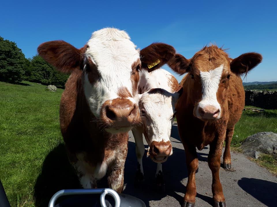 Segway Cows 2.jpg