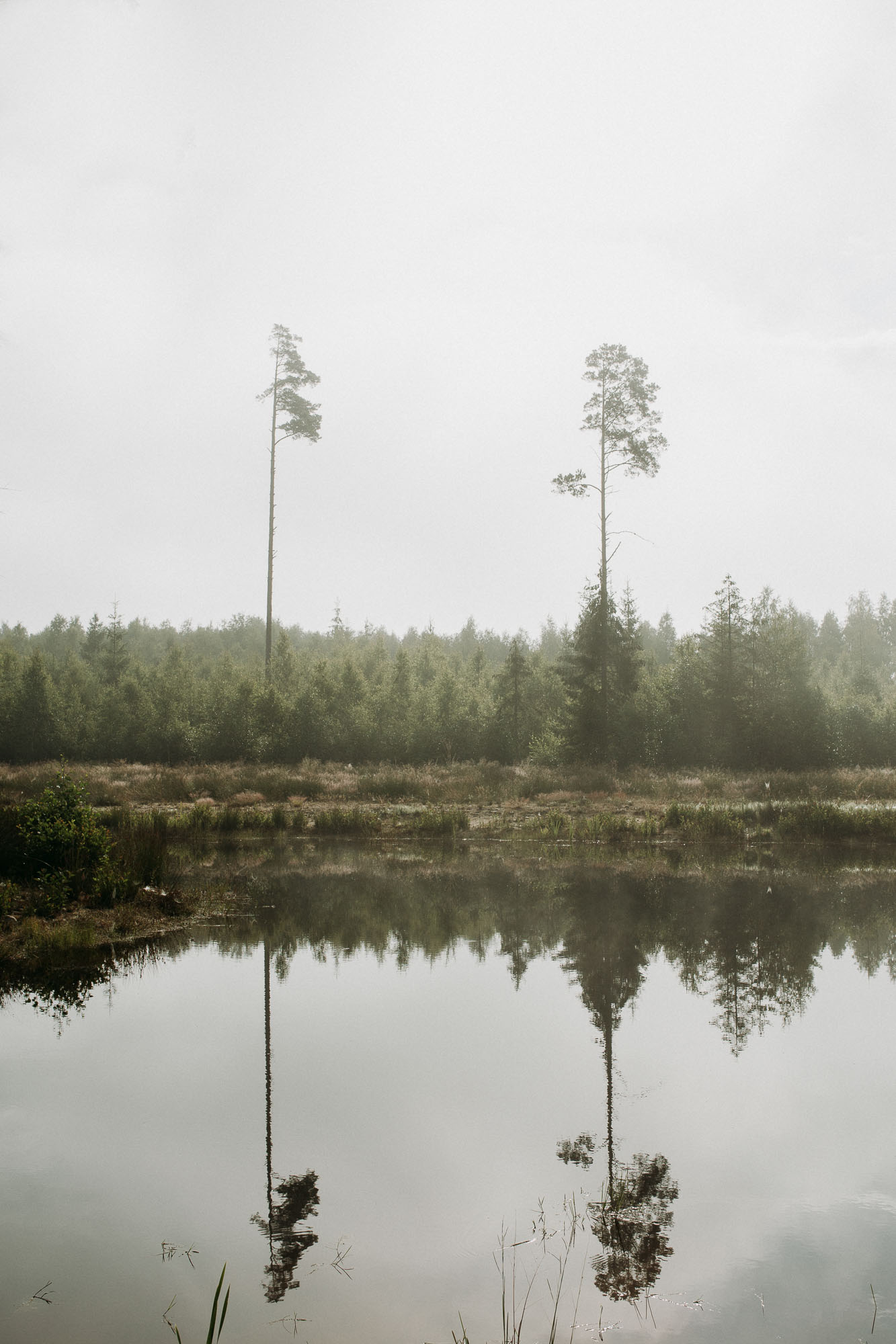 Photo ID: Two single tall Scots pine trees stand in a foggy field of young fir trees by a pond. The are reflected in the surface of the still water.