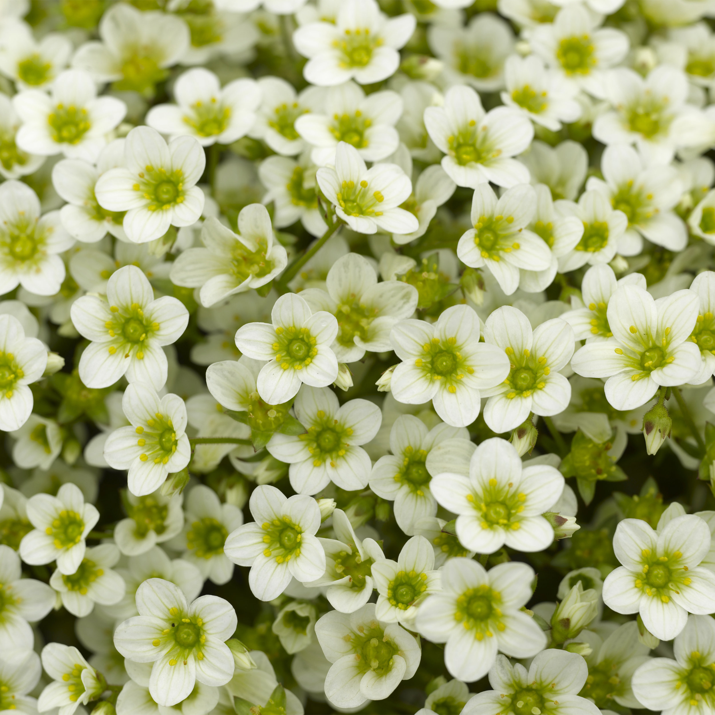 HR_Vegetative_Saxifraga_Alpino_Early™_Alpino_Early™_Lime_70020835.jpg