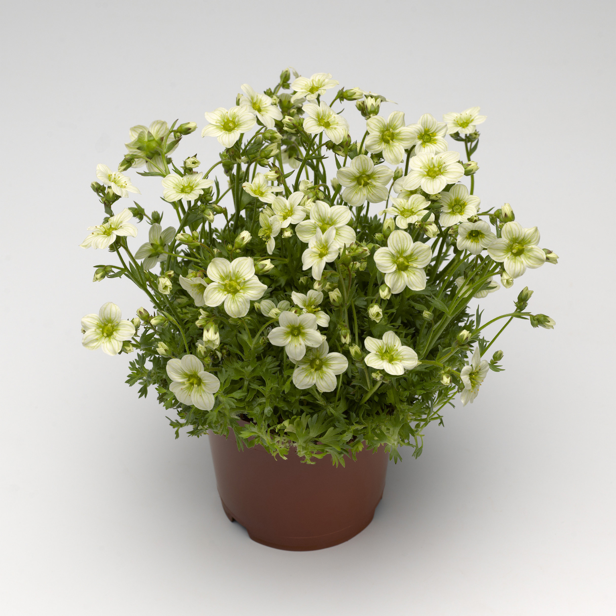 HR_Vegetative_Saxifraga_Alpino_Early™_Alpino_Early™_Lime_70020835_2.jpg