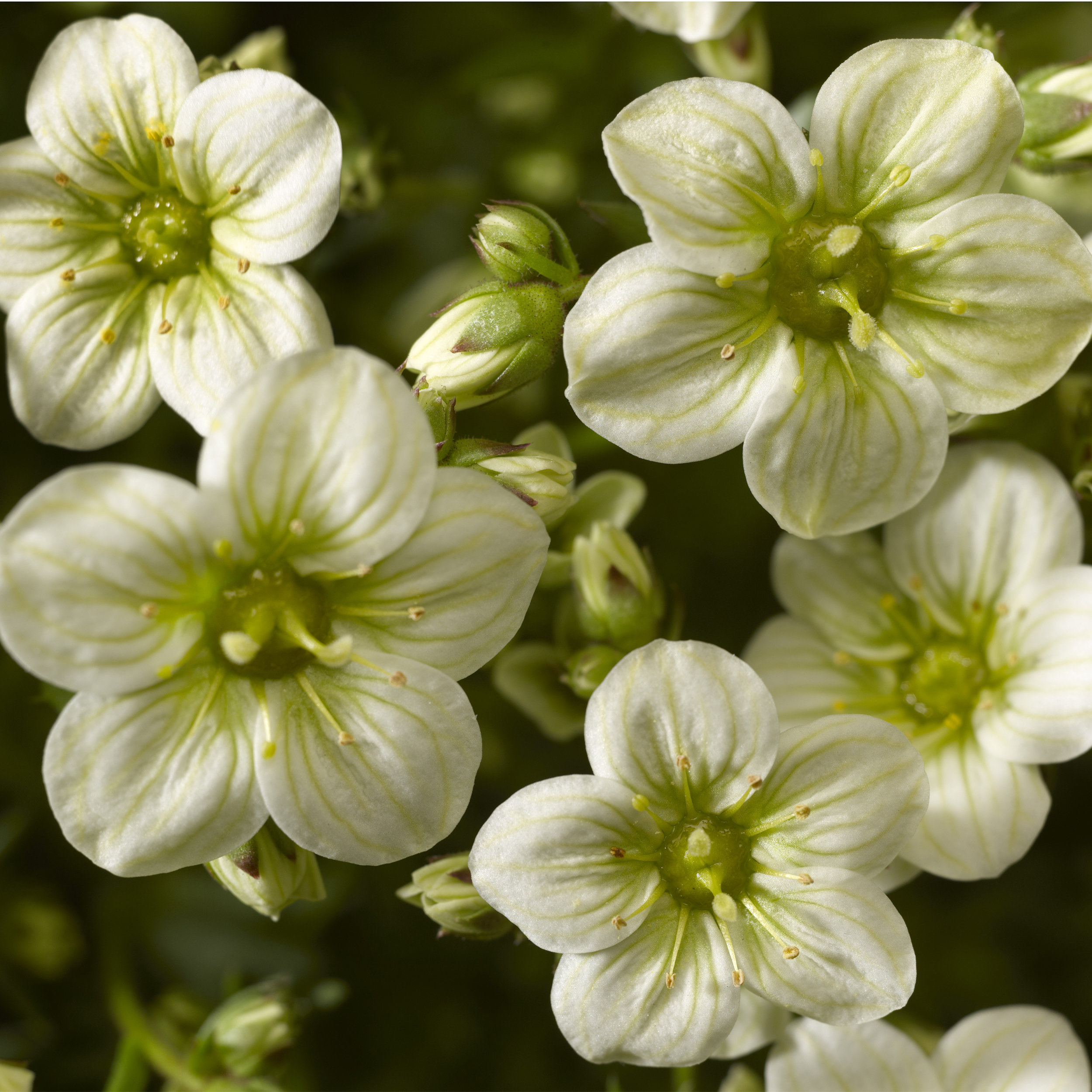 HR_Vegetative_Saxifraga_Alpino_Early™_Alpino_Early™_Lime_70020835_3.jpg