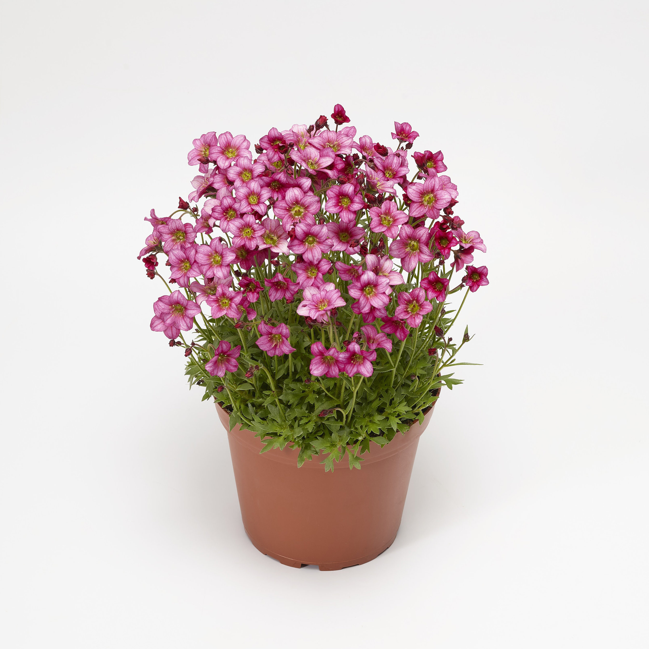 HR_Vegetative_Saxifraga_Alpino_Early™_Alpino™_Early_Rose_70064269_1.jpg
