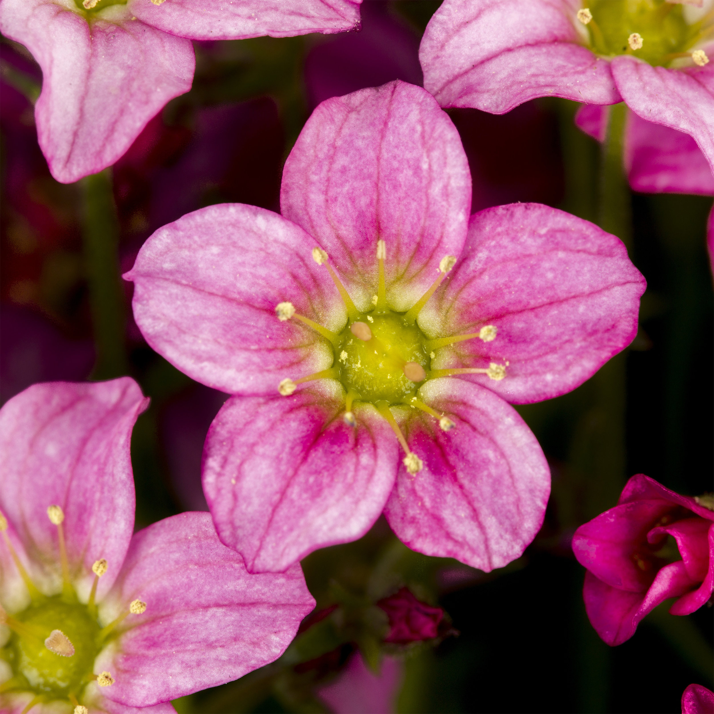 HR_Vegetative_Saxifraga_Alpino_Early™_Alpino™_Early_Rose_70064269.jpg