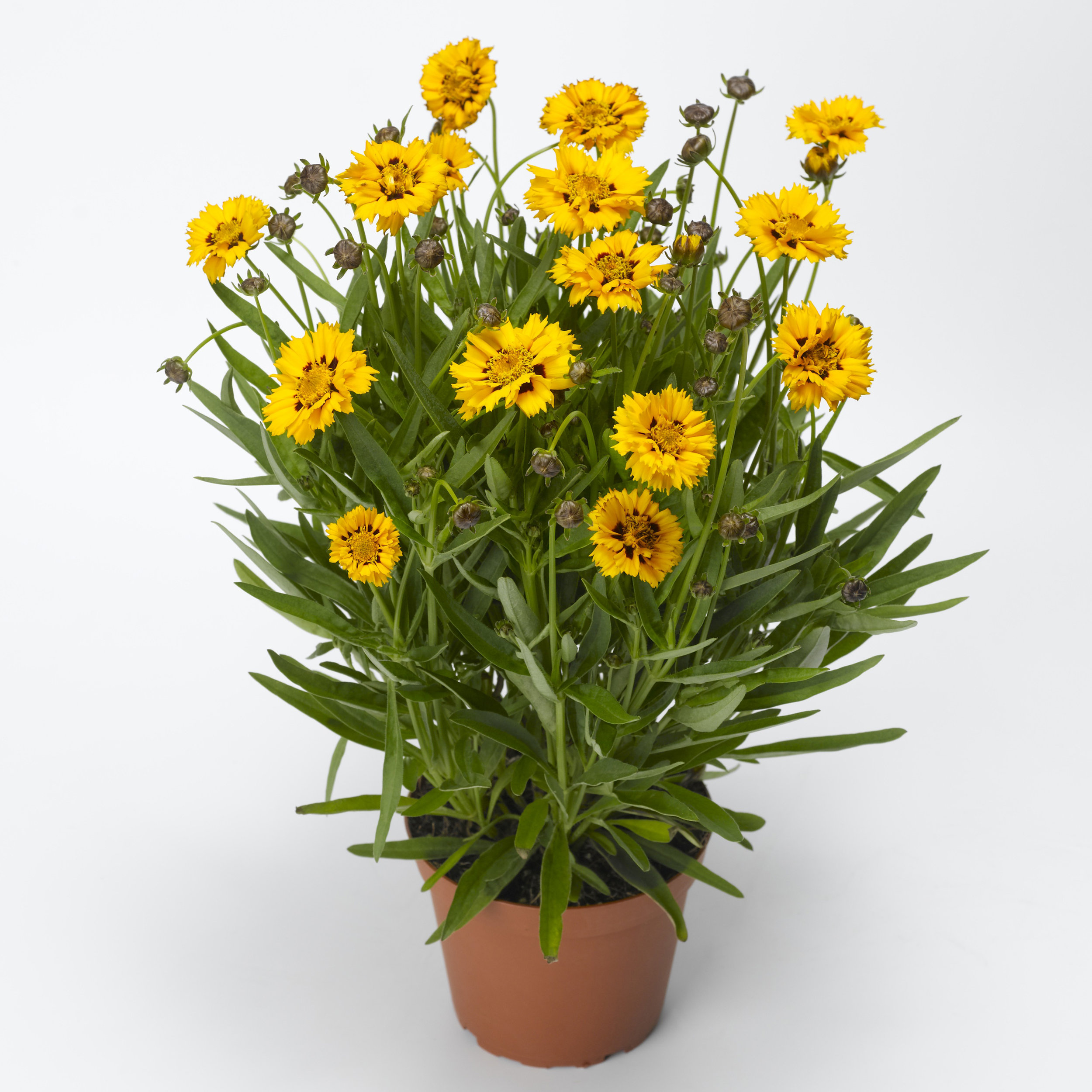 HR_Seed_Coreopsis_Andiamo™_Andiamo™_Yellow_Red_70048644.jpg