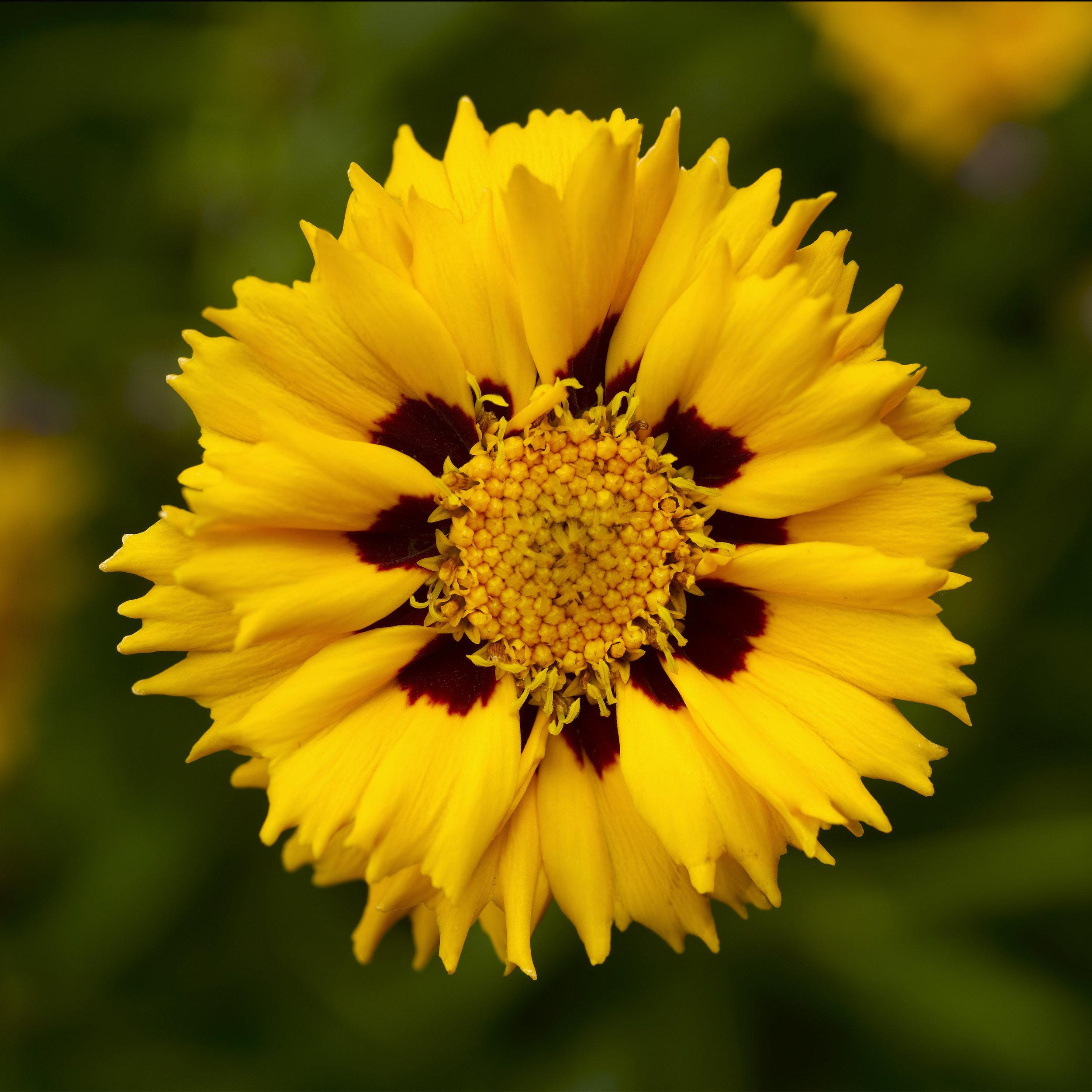 HR_Seed_Coreopsis_Andiamo™_Andiamo™_Yellow_Red_70048644_1.jpg