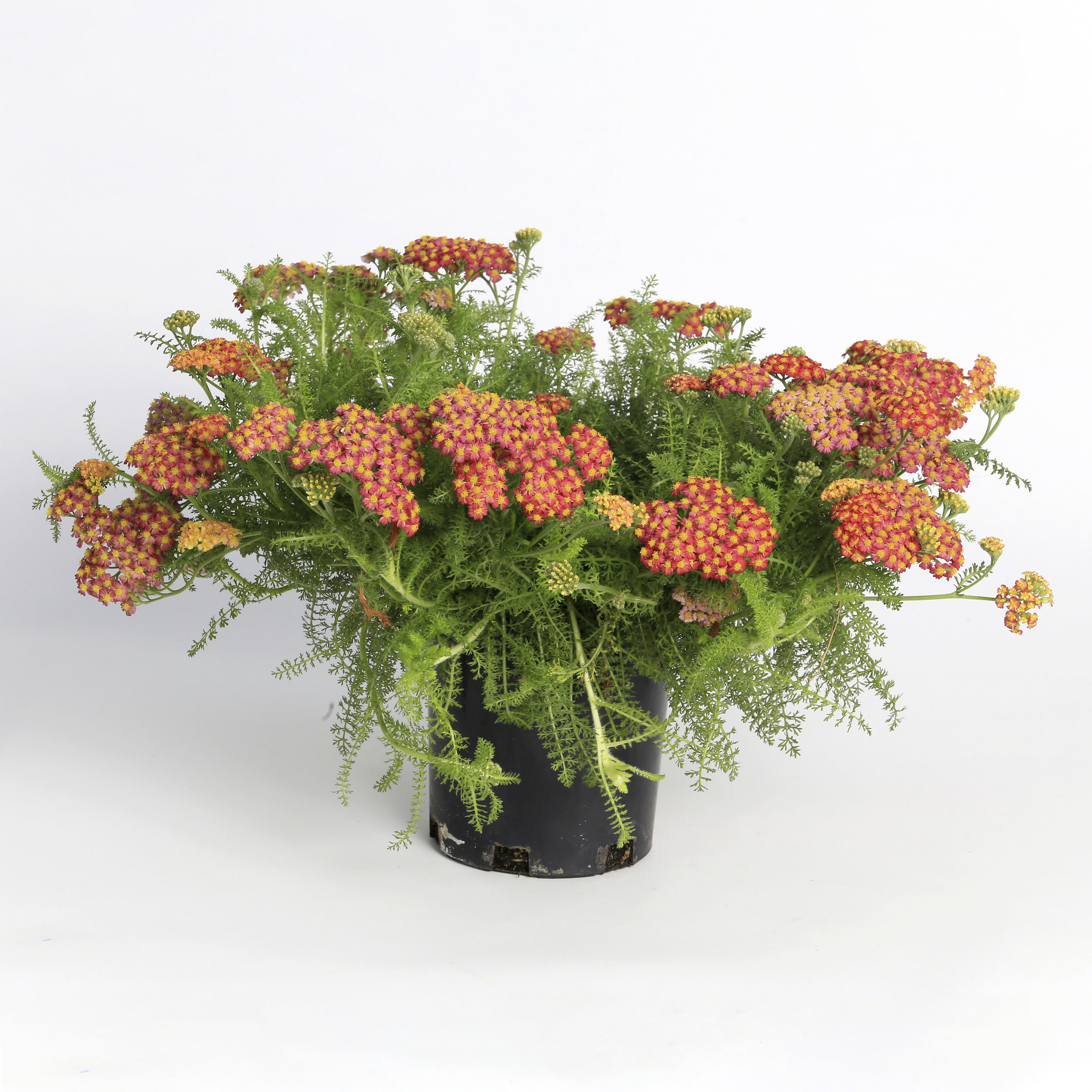 HR_Vegetative_Achillea_Desert_Eve™_Desert_Eve™_Red_70017961_1.jpg