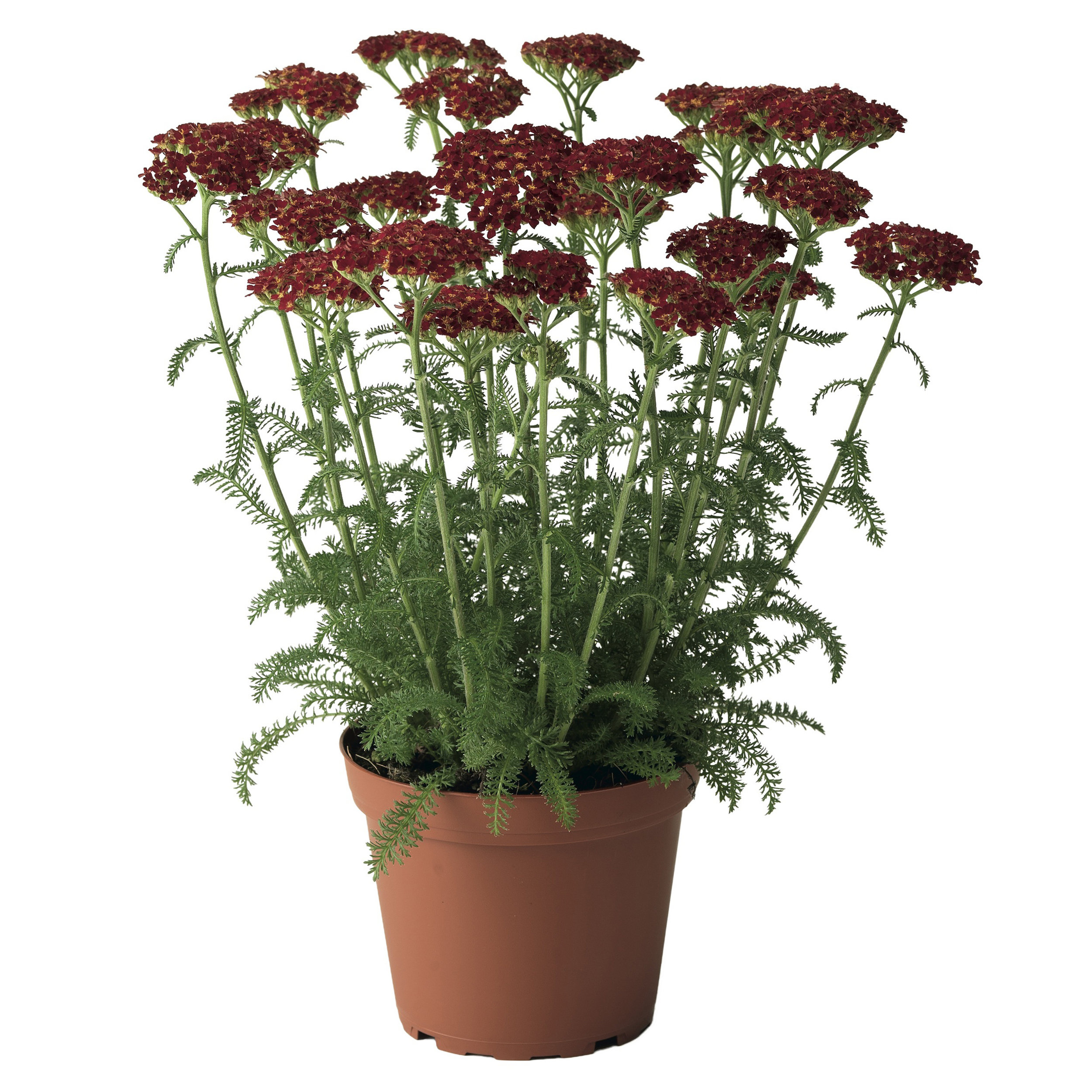 HR_Vegetative_Achillea_Desert_Eve™_Desert_Eve™_Red_70017961_2.jpg