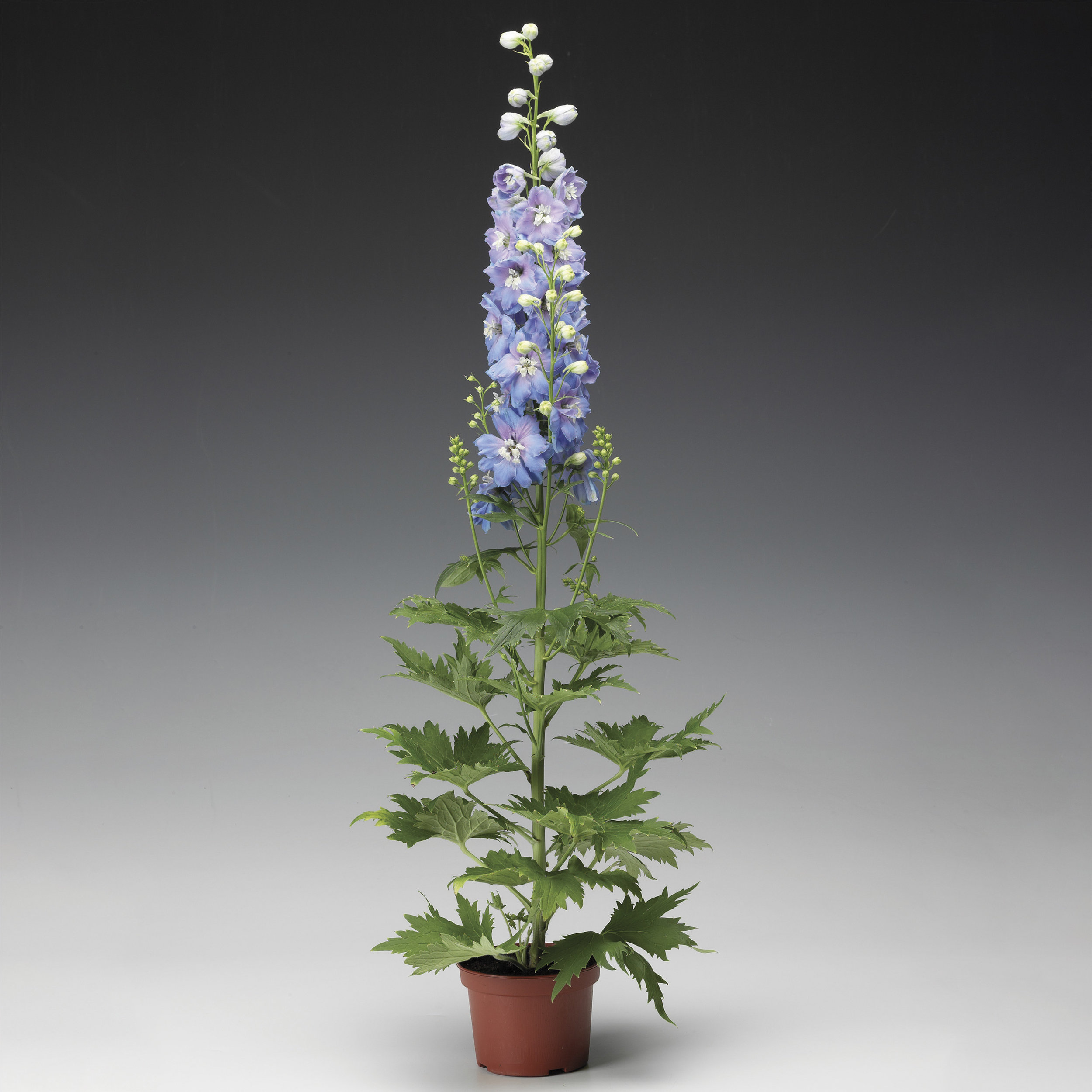 HR_Seed_Delphinium_Excalibur™_Excalibur™_Light_Blue_White_Bee_70001032_1.jpg