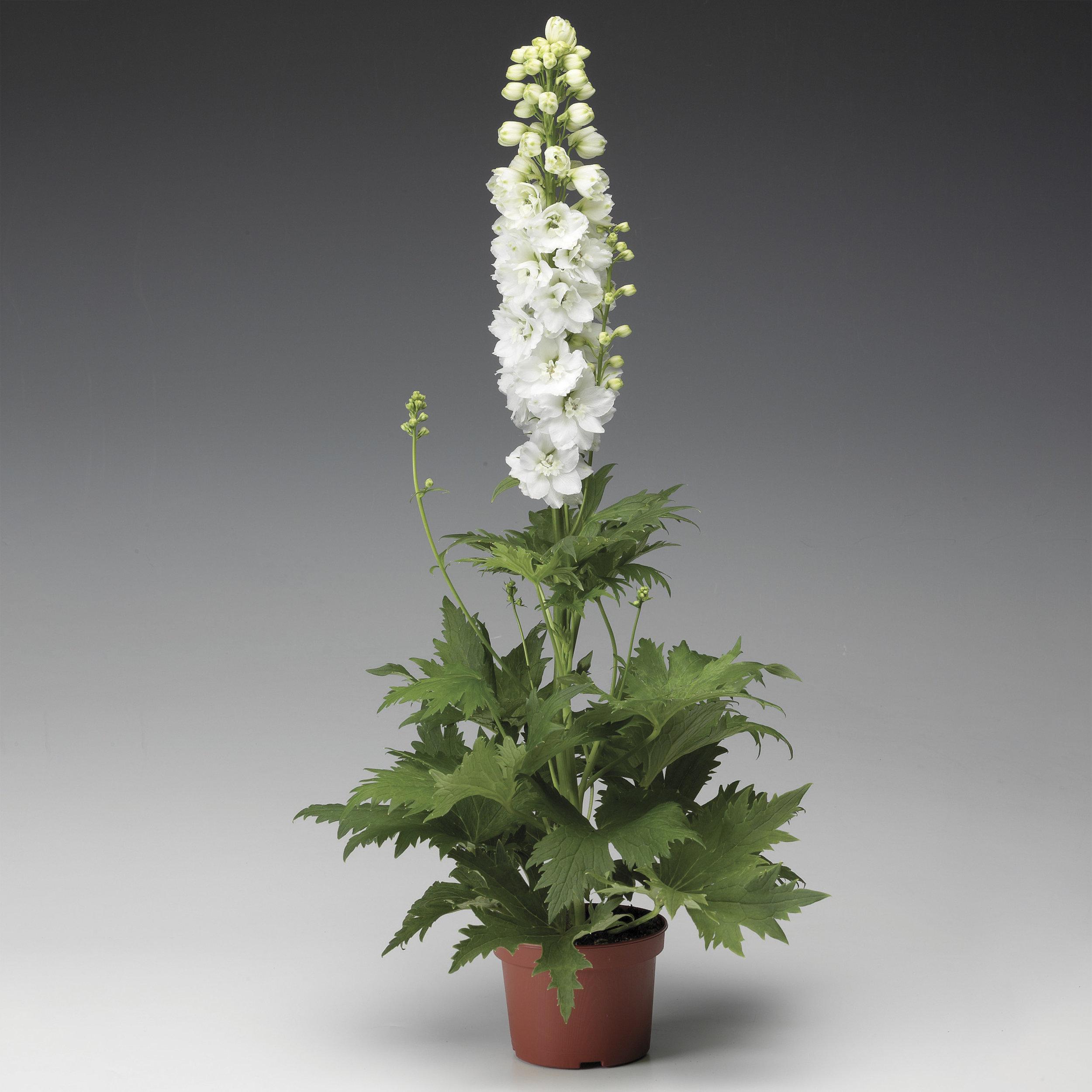 HR_Seed_Delphinium_Excalibur™_Excalibur™_Pure_White_70001030_1.jpg