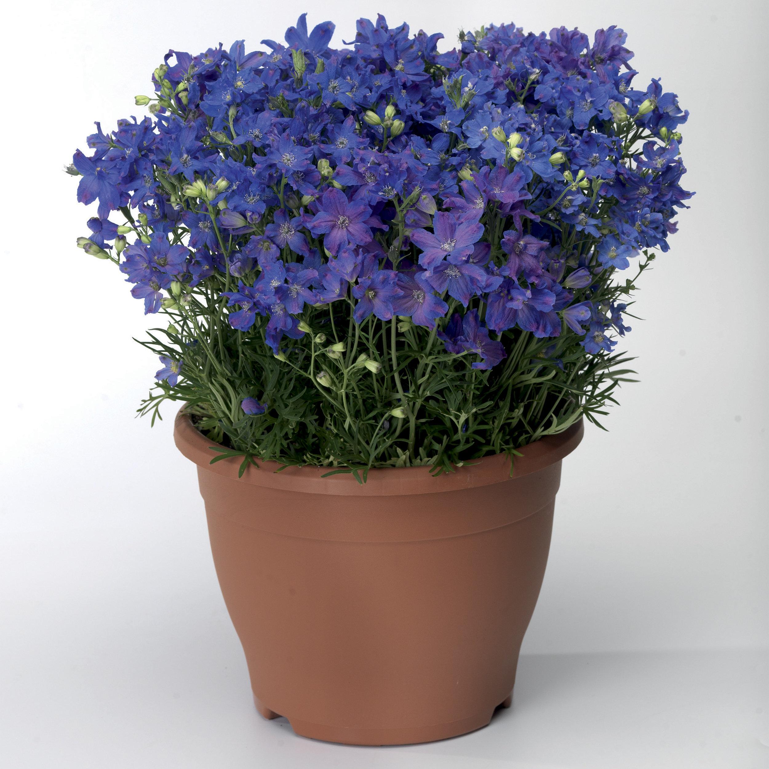HR_Seed_Delphinium_Delfix®_Delfix®_Blue_70001035.jpg