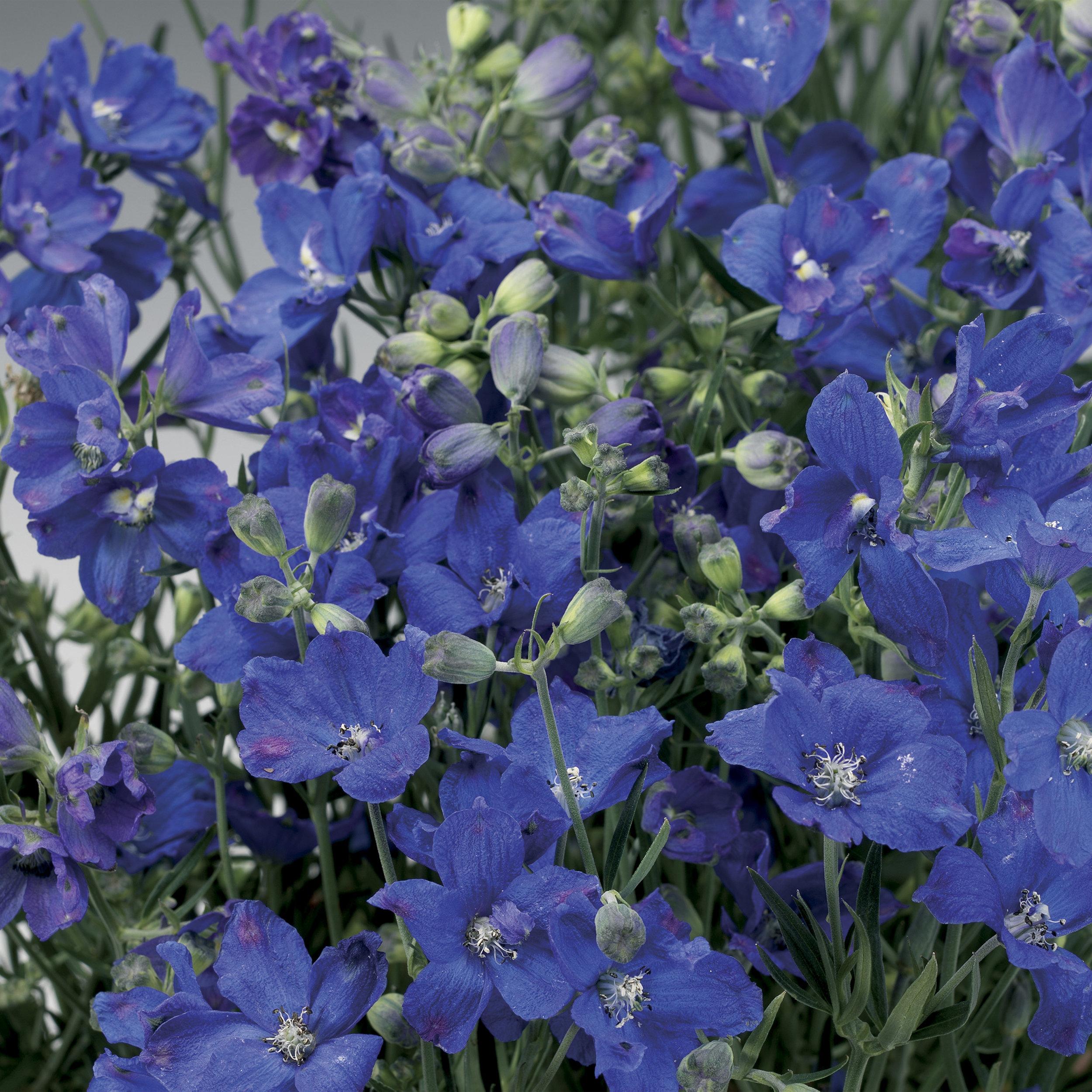 HR_Seed_Delphinium_Delfix®_Delfix®_Blue_70001035_1.jpg