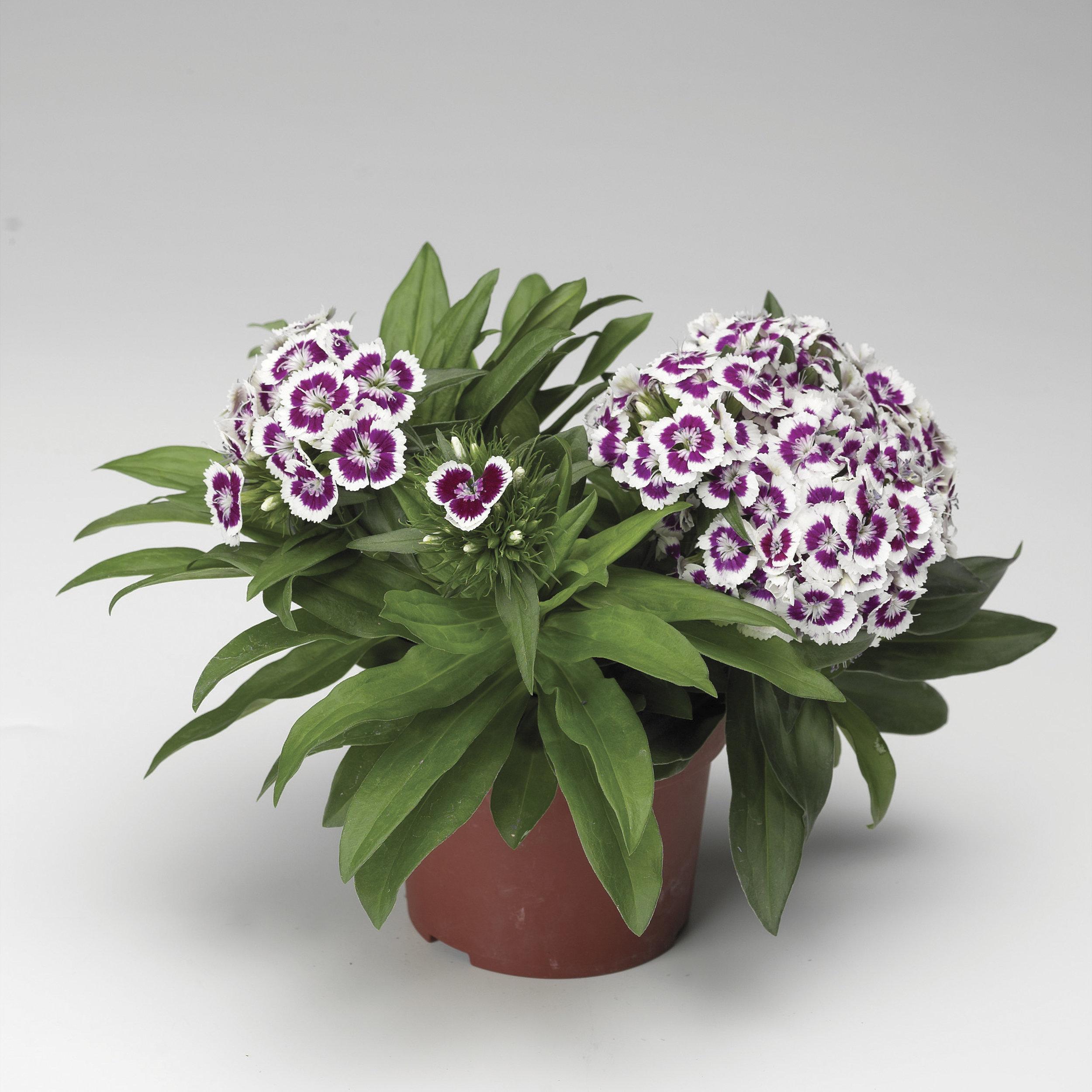 HR_Seed_Dianthus_Barbarini®_Barbarini®_Purple_Picotee_70001021.jpg