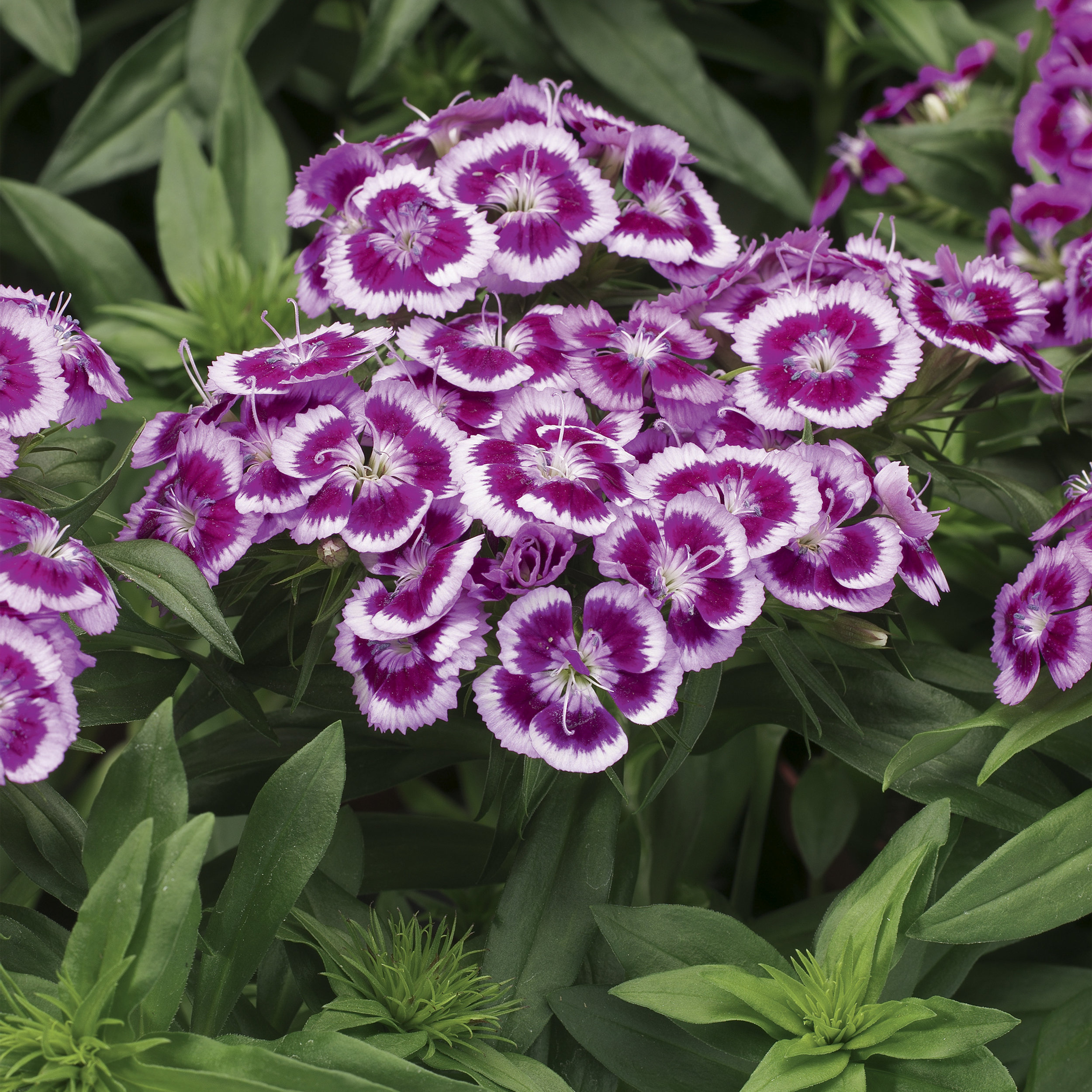 HR_Seed_Dianthus_Barbarini®_Barbarini®_Purple_Picotee_70001021_1.jpg