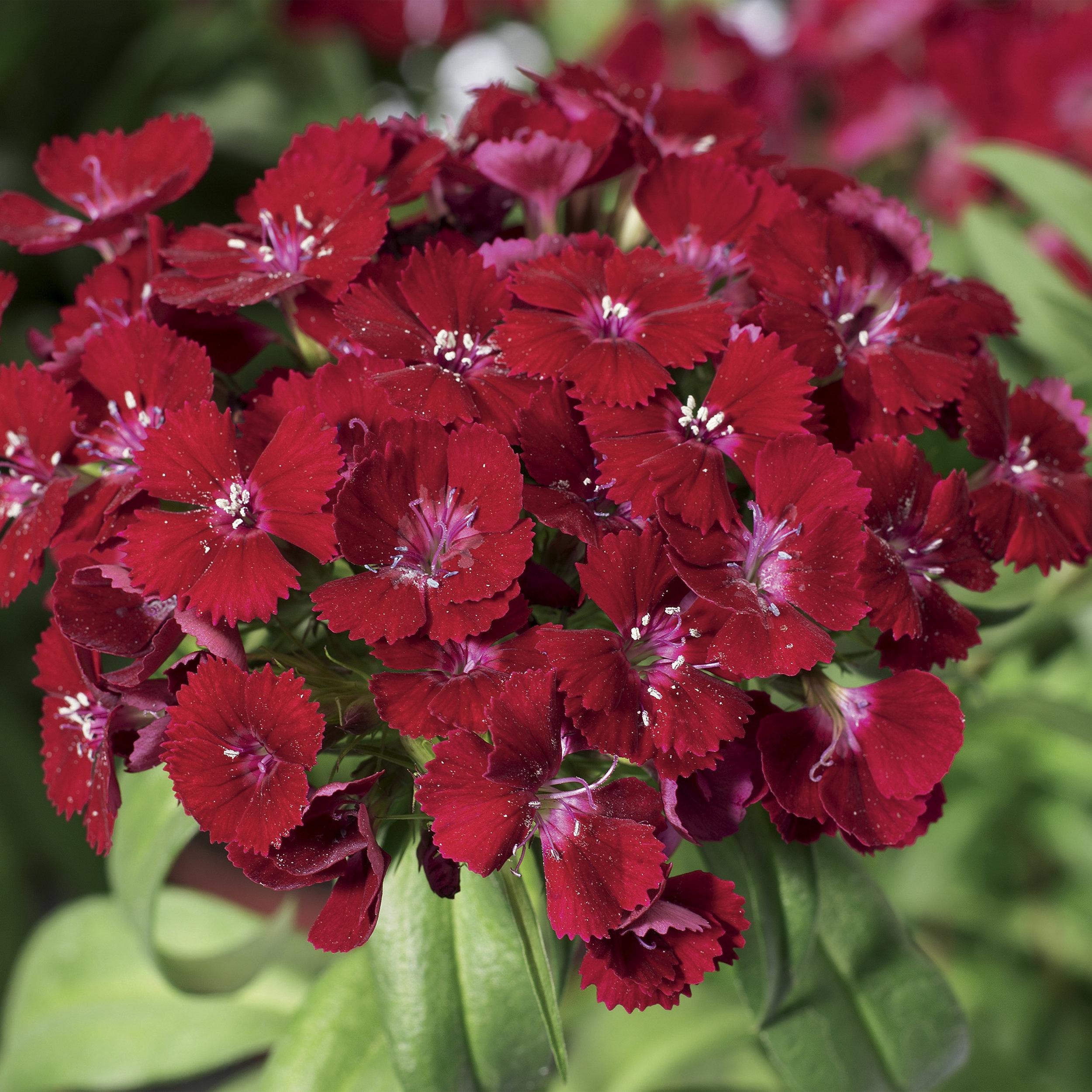 HR_Seed_Dianthus_Barbarini®_Barbarini®_Red_70001024_1.jpg
