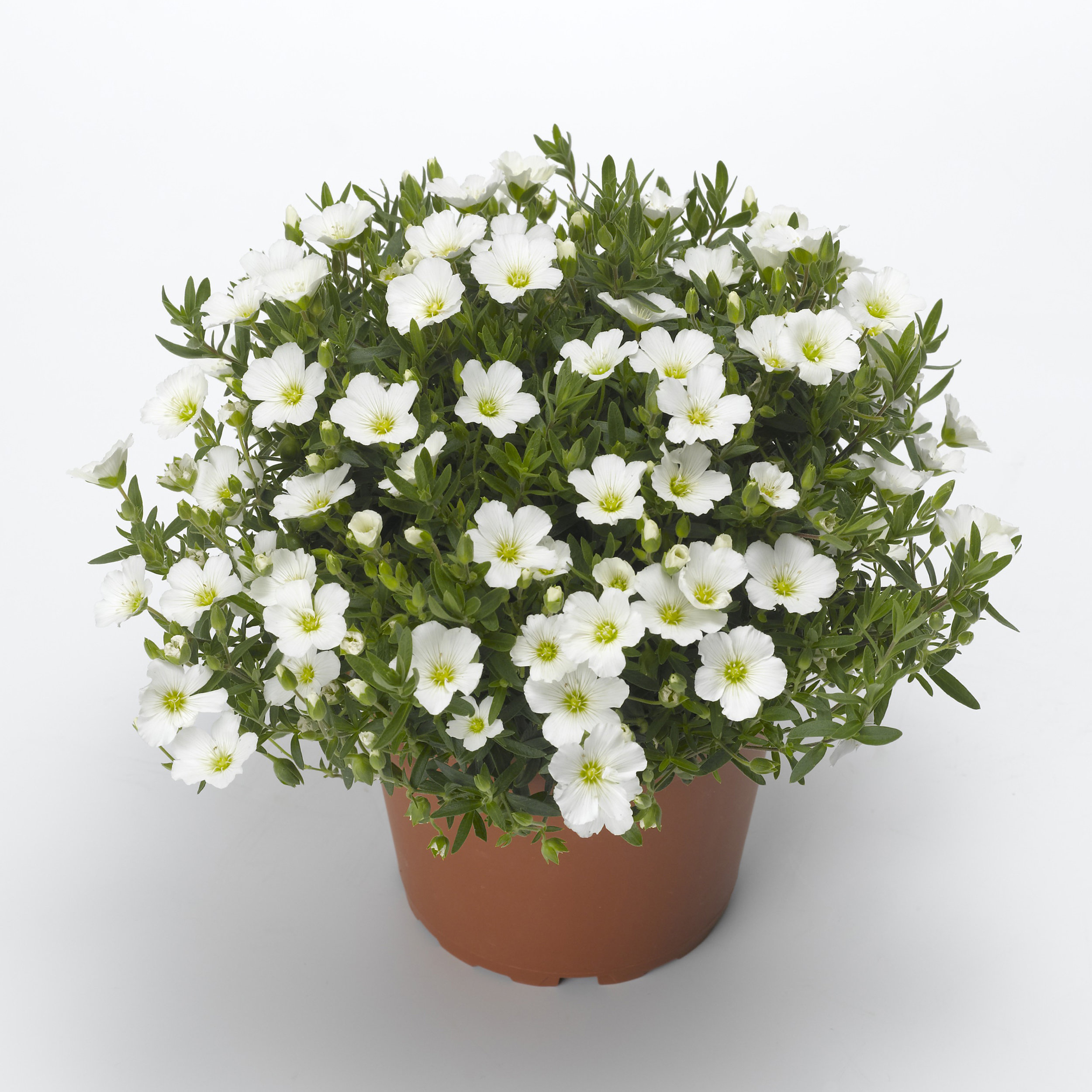 HR_Vegetative_Arenaria_Summer_White_Summer_White_70018116.jpg