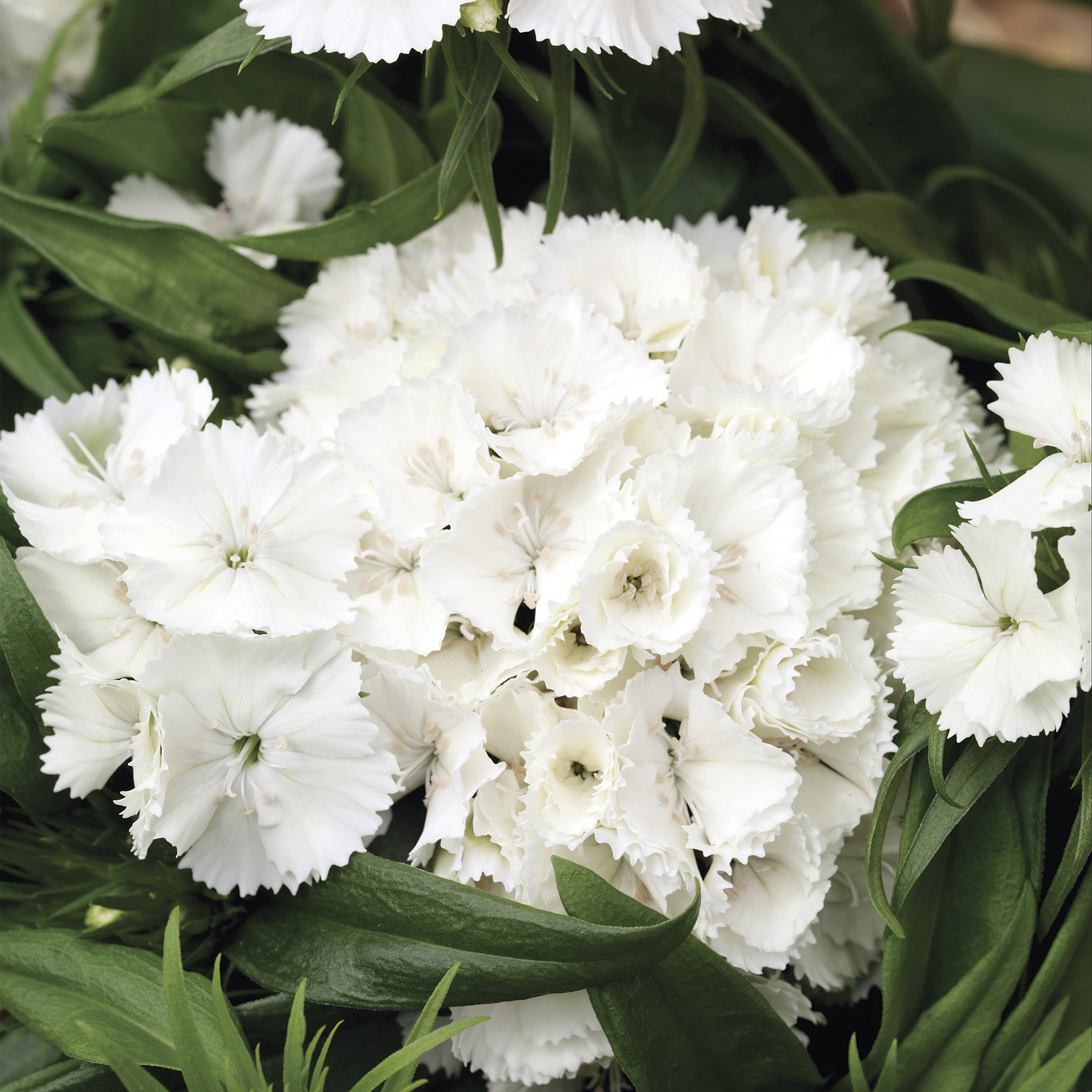HR_Seed_Dianthus_Barbarini®_Barbarini®_White_70001026_1.jpg