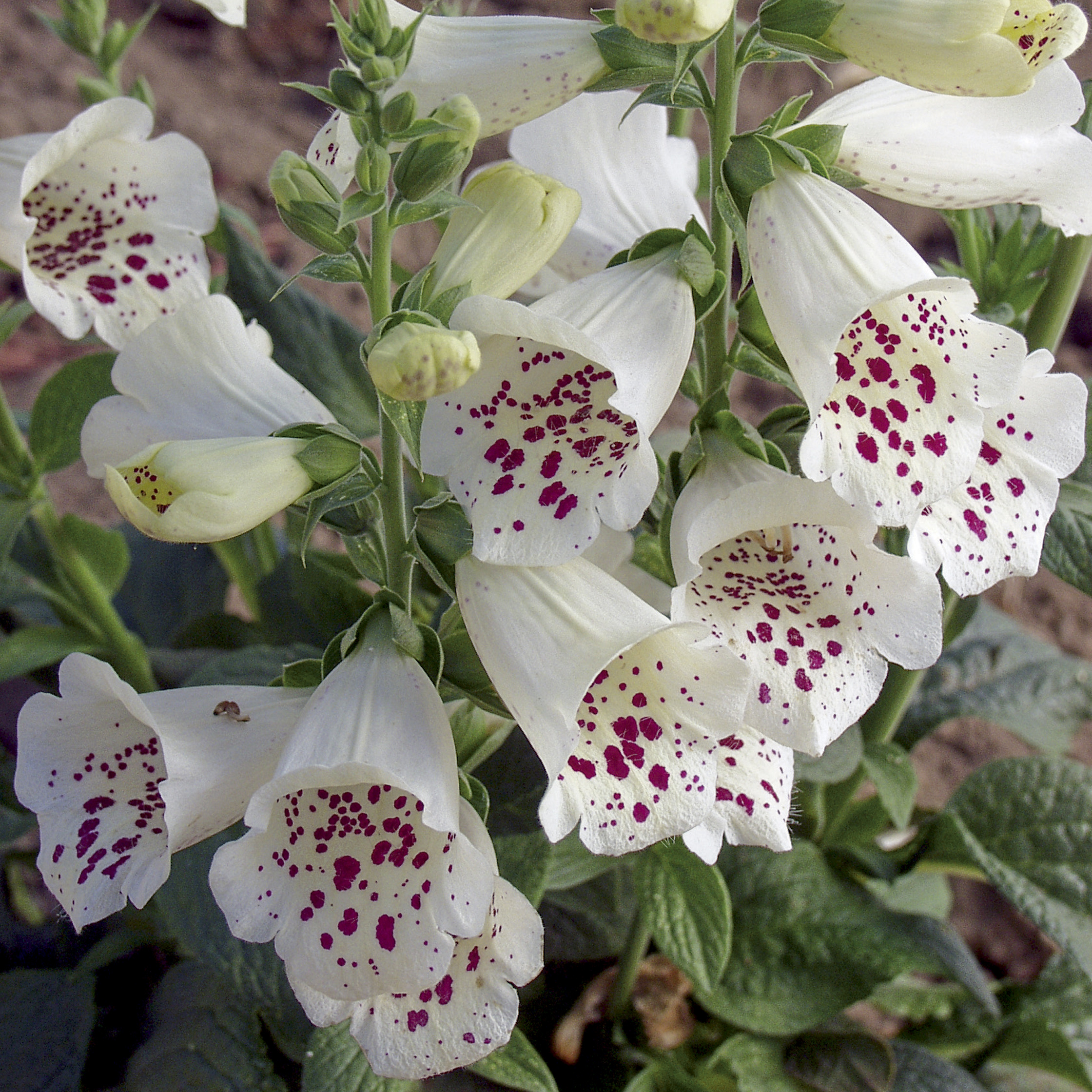 HR_Seed_Digitalis_Camelot™_Camelot™_White_70019383_1.jpg