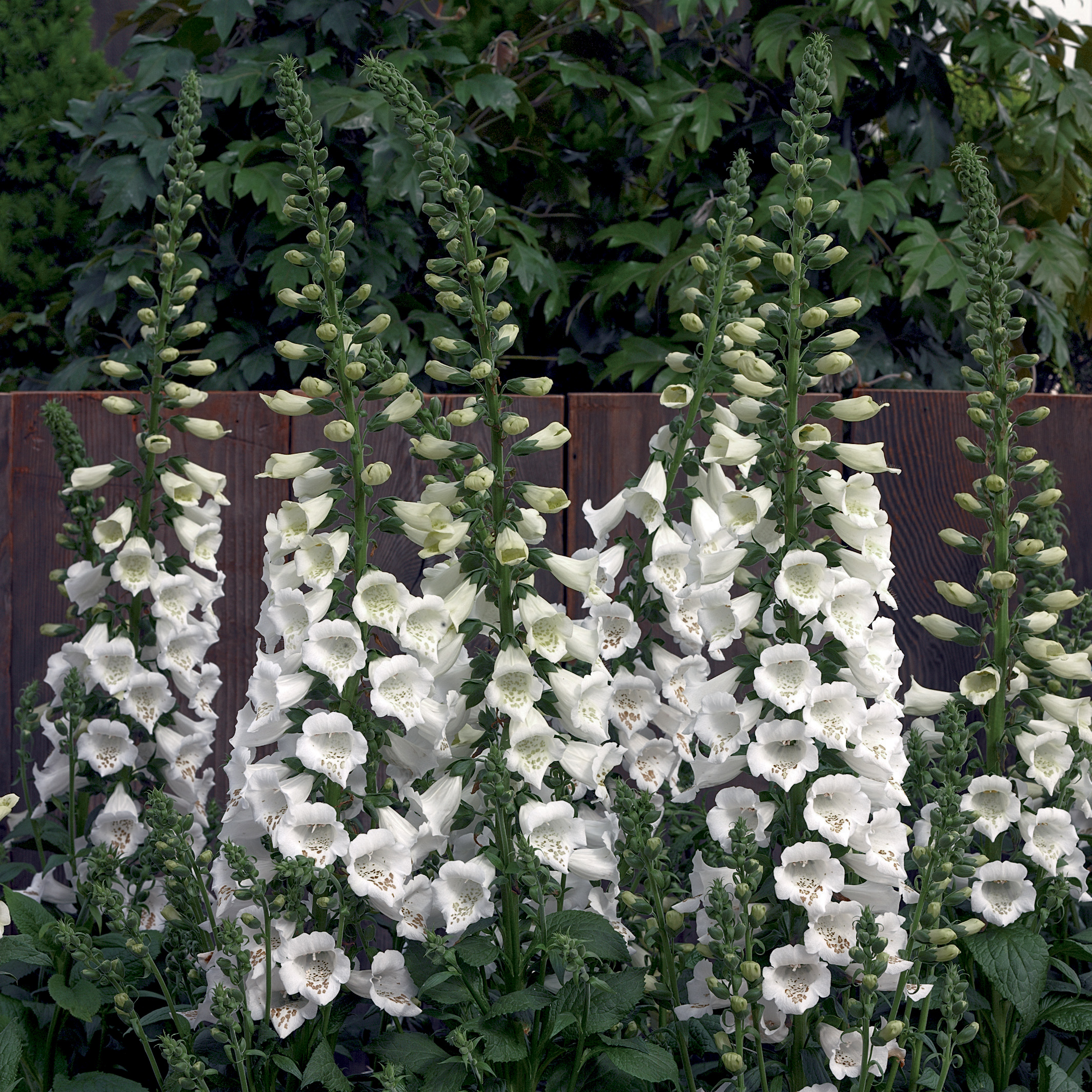 HR_Seed_Digitalis_Camelot™_Camelot™_White_70019383.jpg