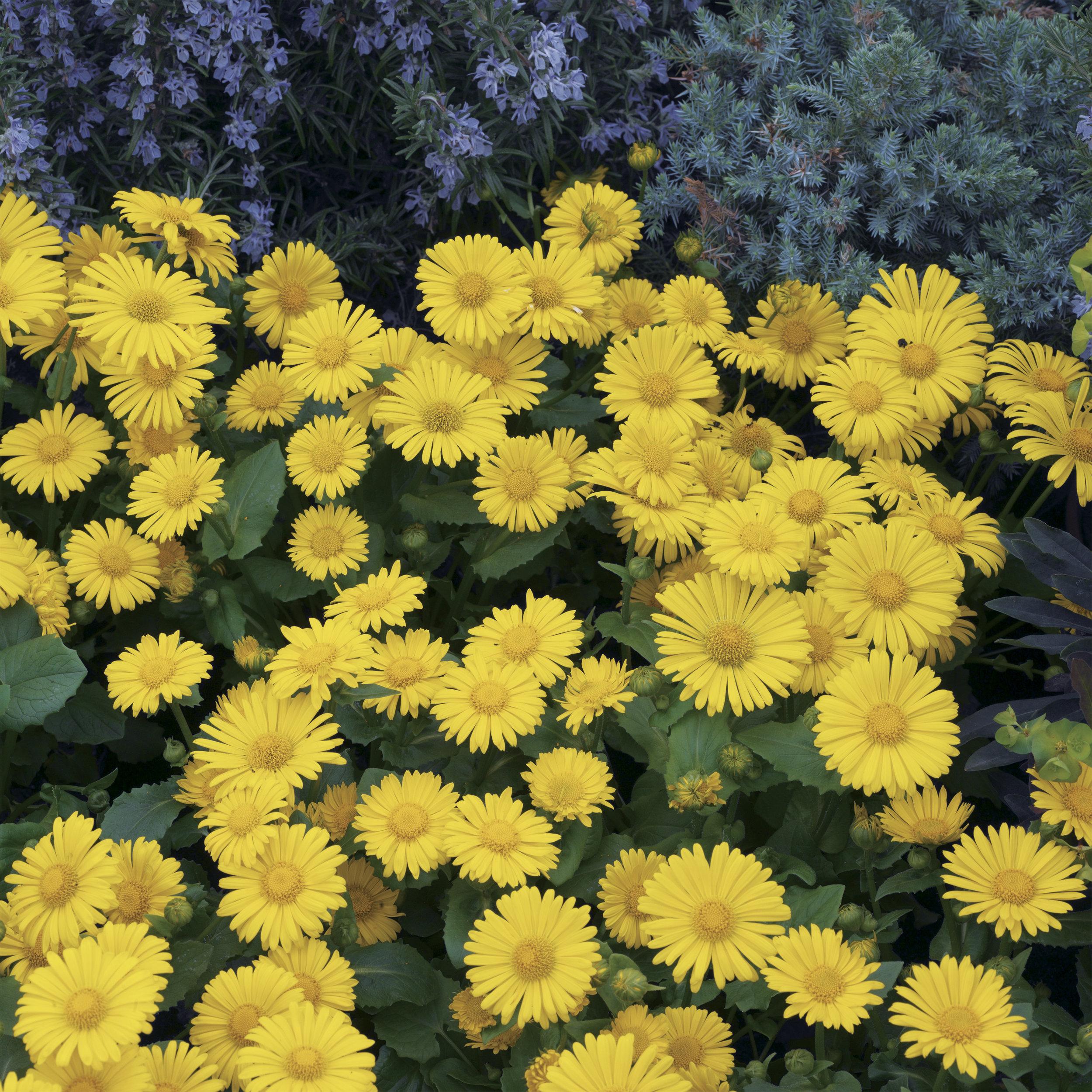 Compact Yellow