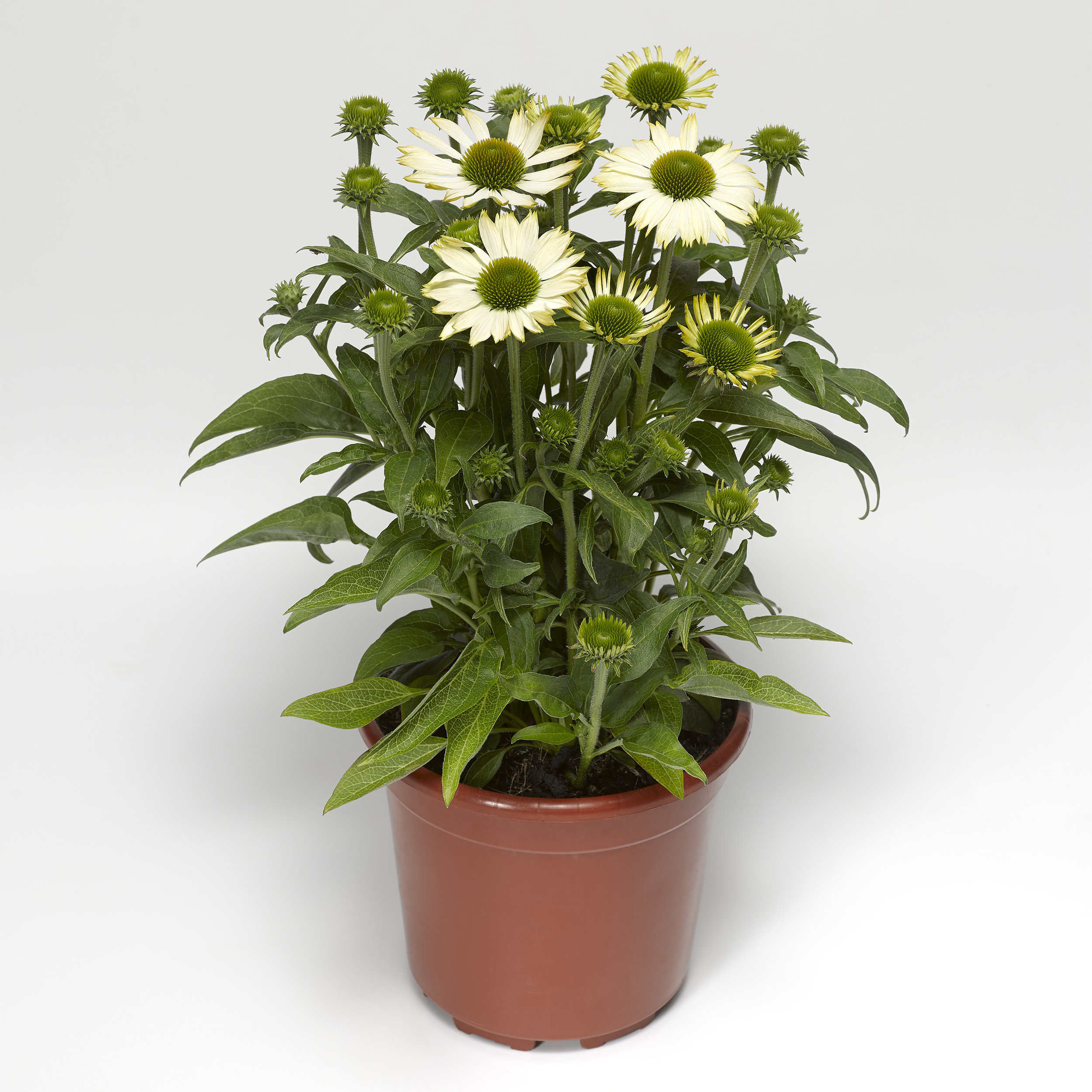 HR_Seed_Echinacea_Prairie_Splendor_Compact™_Prairie_Splendor_Compact™_White_70054424_1.jpg