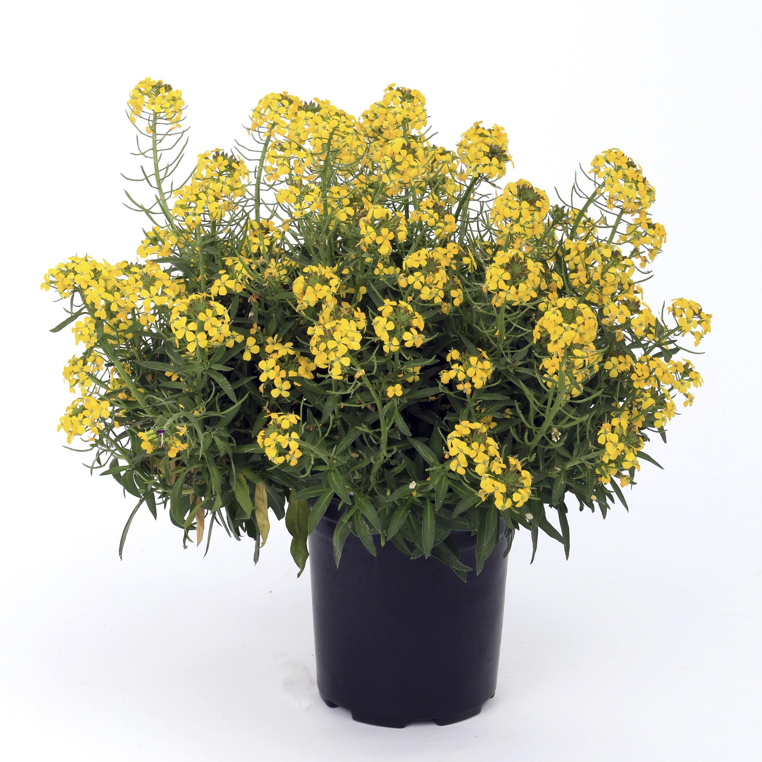 HR_Seed_Erysimum_Canaries™_Canaries™_Yellow_70003599_3.jpg