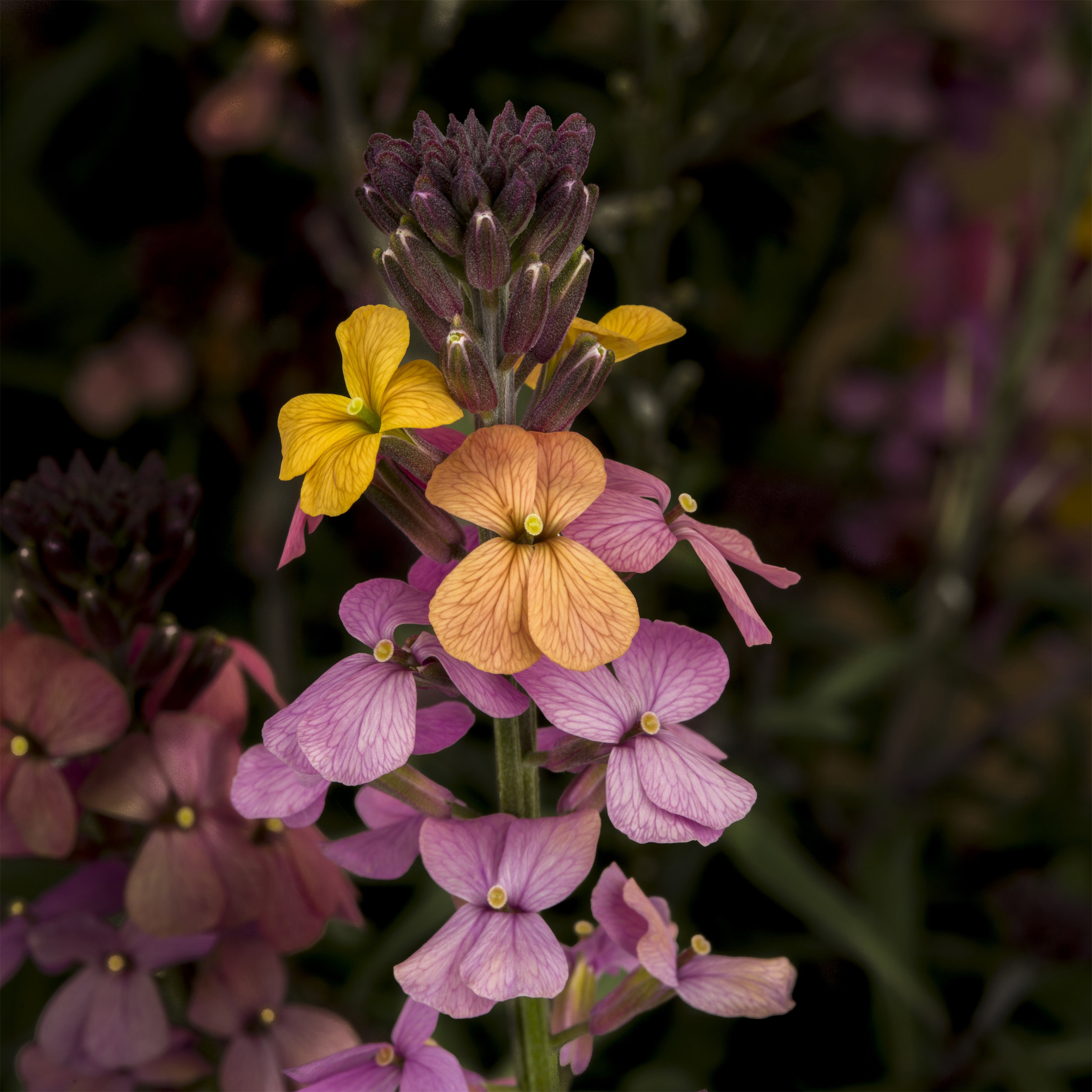 HR_Vegetative_Erysimum_Super_Bowl™_Super_Bowl™_Sunset_70028052.jpg
