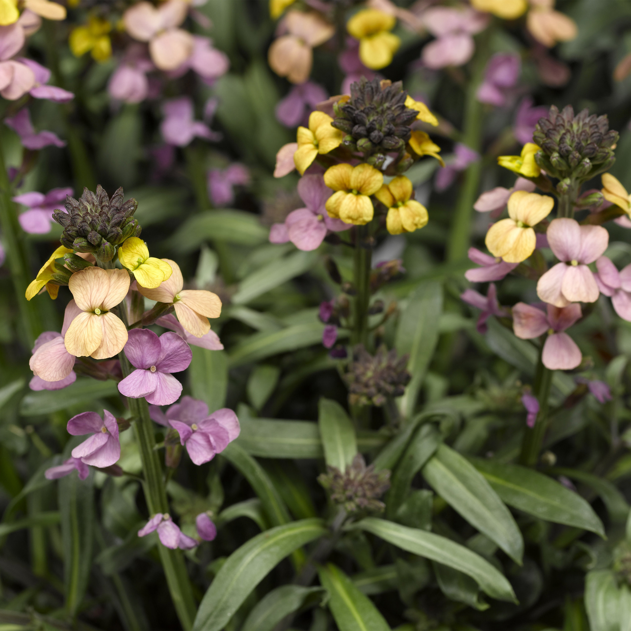 HR_Vegetative_Erysimum_Super_Bowl™_Super_Bowl™_Sunset_70028052_1.jpg