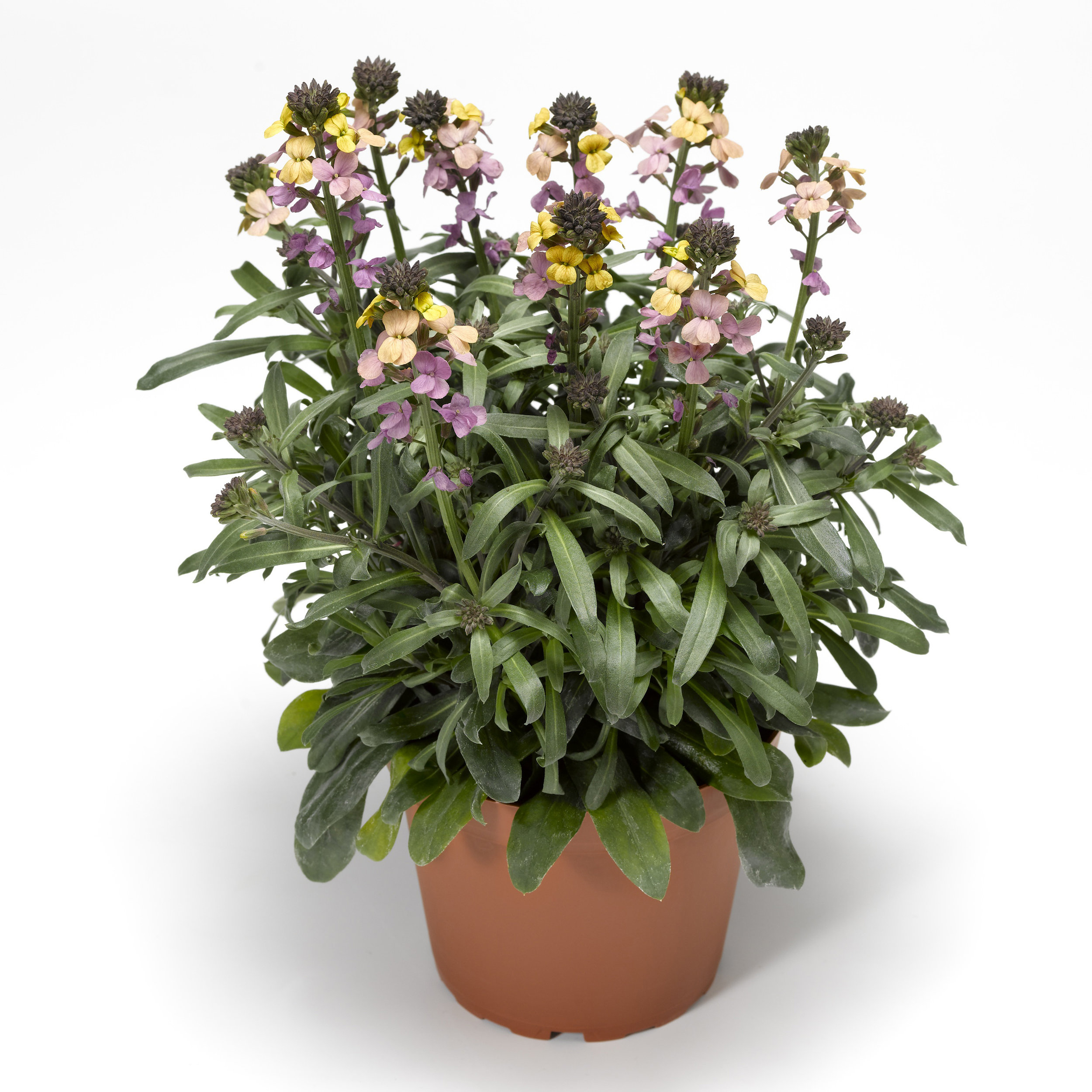 HR_Vegetative_Erysimum_Super_Bowl™_Super_Bowl™_Sunset_70028052_2.jpg