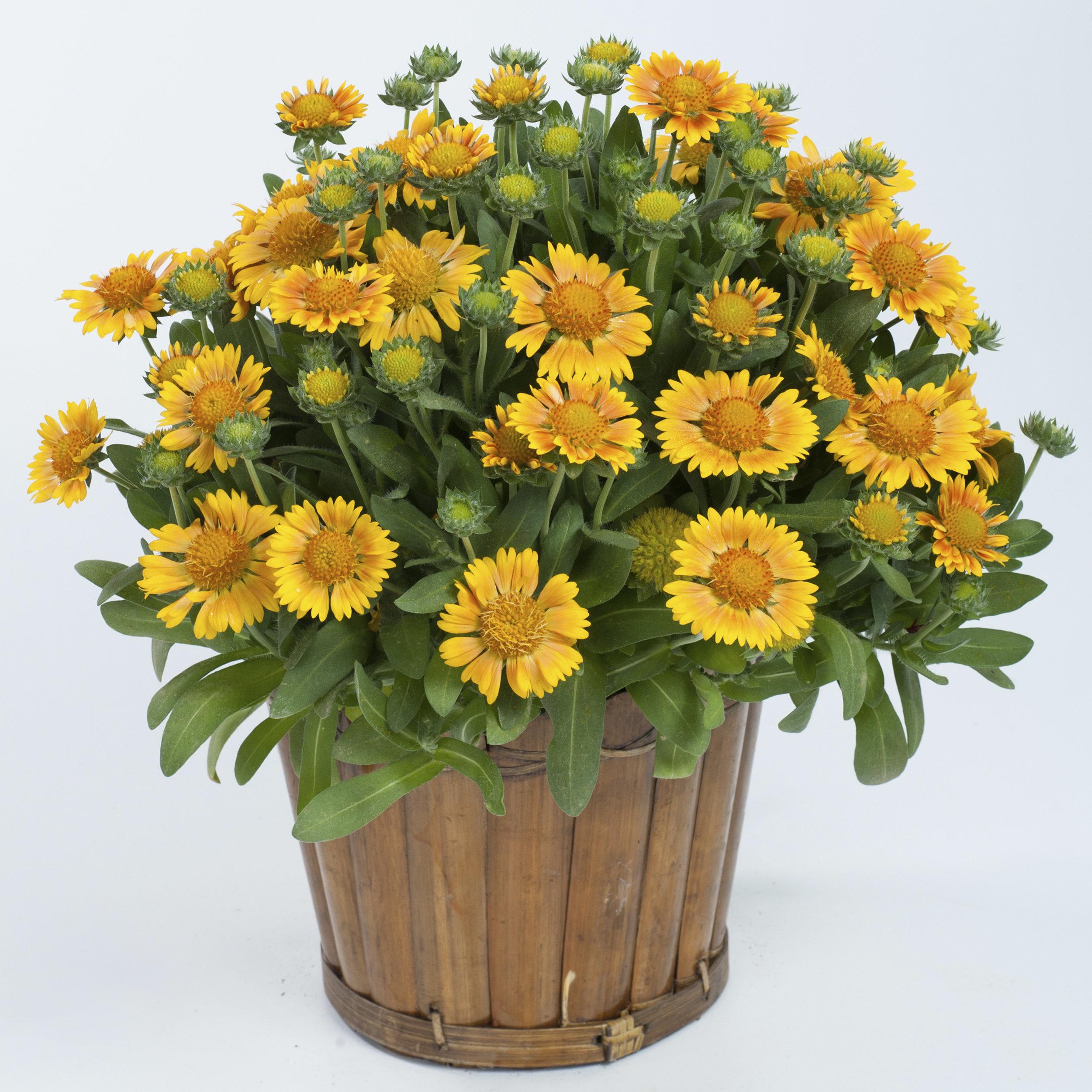 HR_Gaillardia_Galya_Yellow.jpg