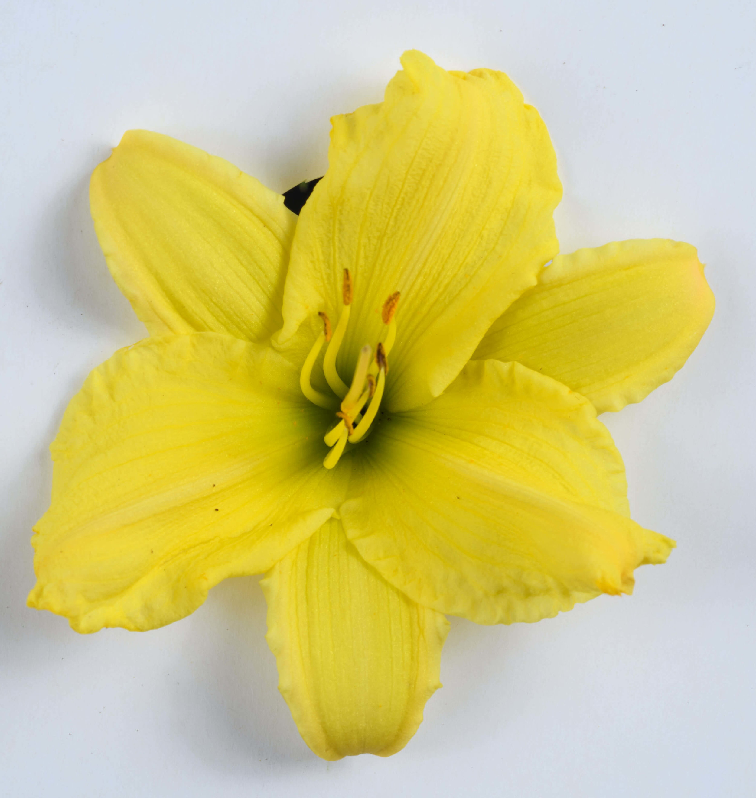 endlesslily yellow2.jpg