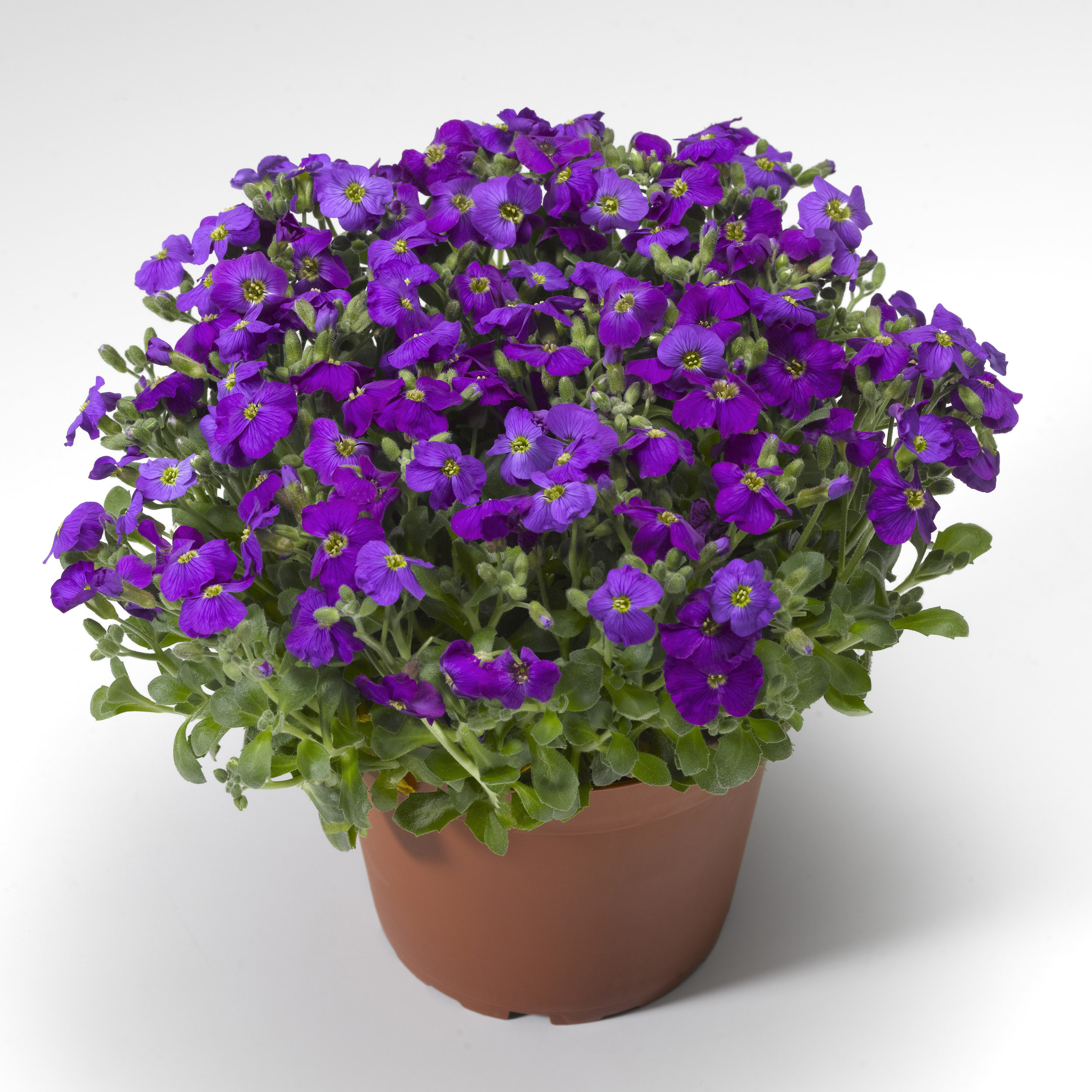 HR_Seed_Aubrieta_Audrey™_Audrey™_Deep_Blue_Shades_70028029_2.jpg
