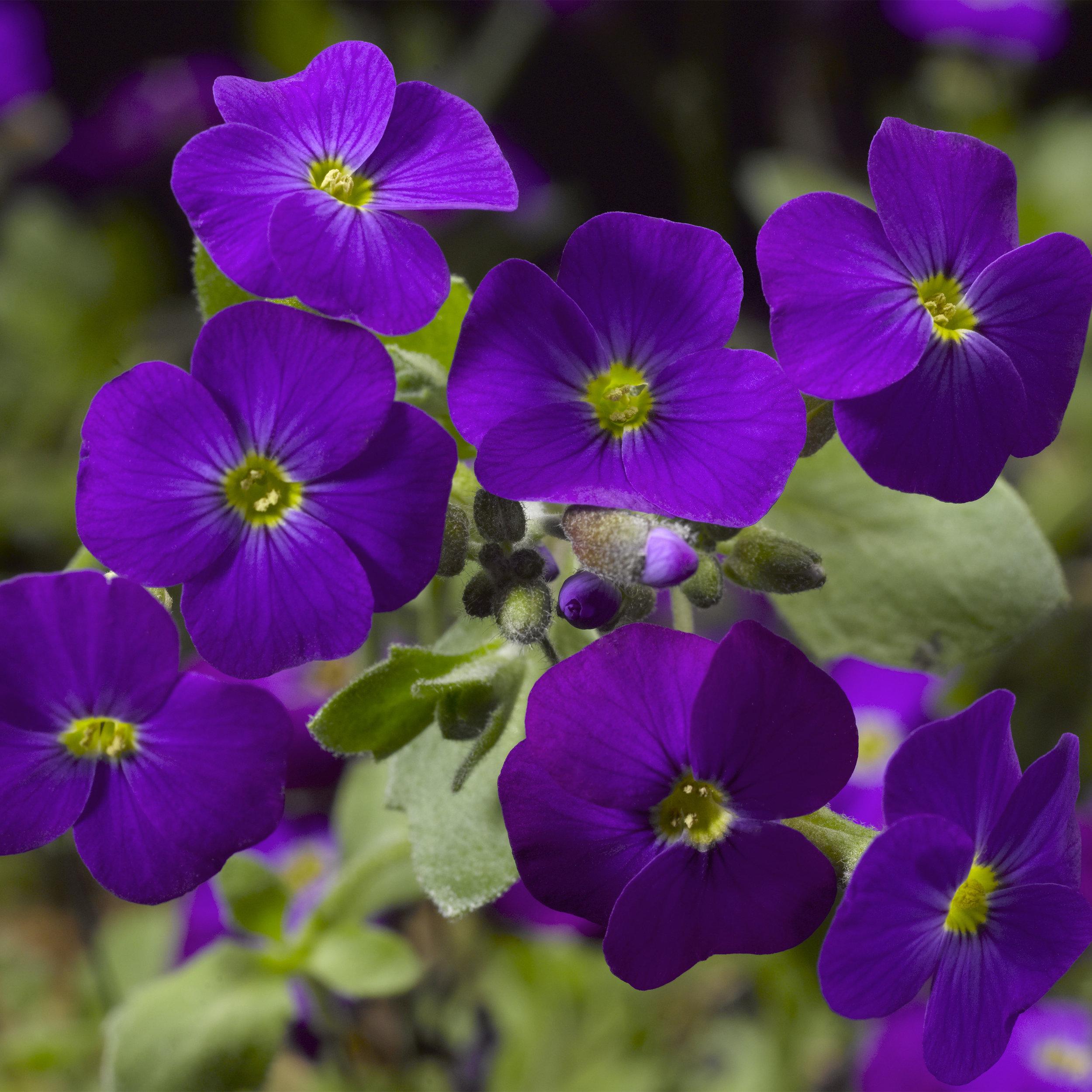 HR_Seed_Aubrieta_Audrey™_Audrey™_Purple_Shades_70028035_1.jpg