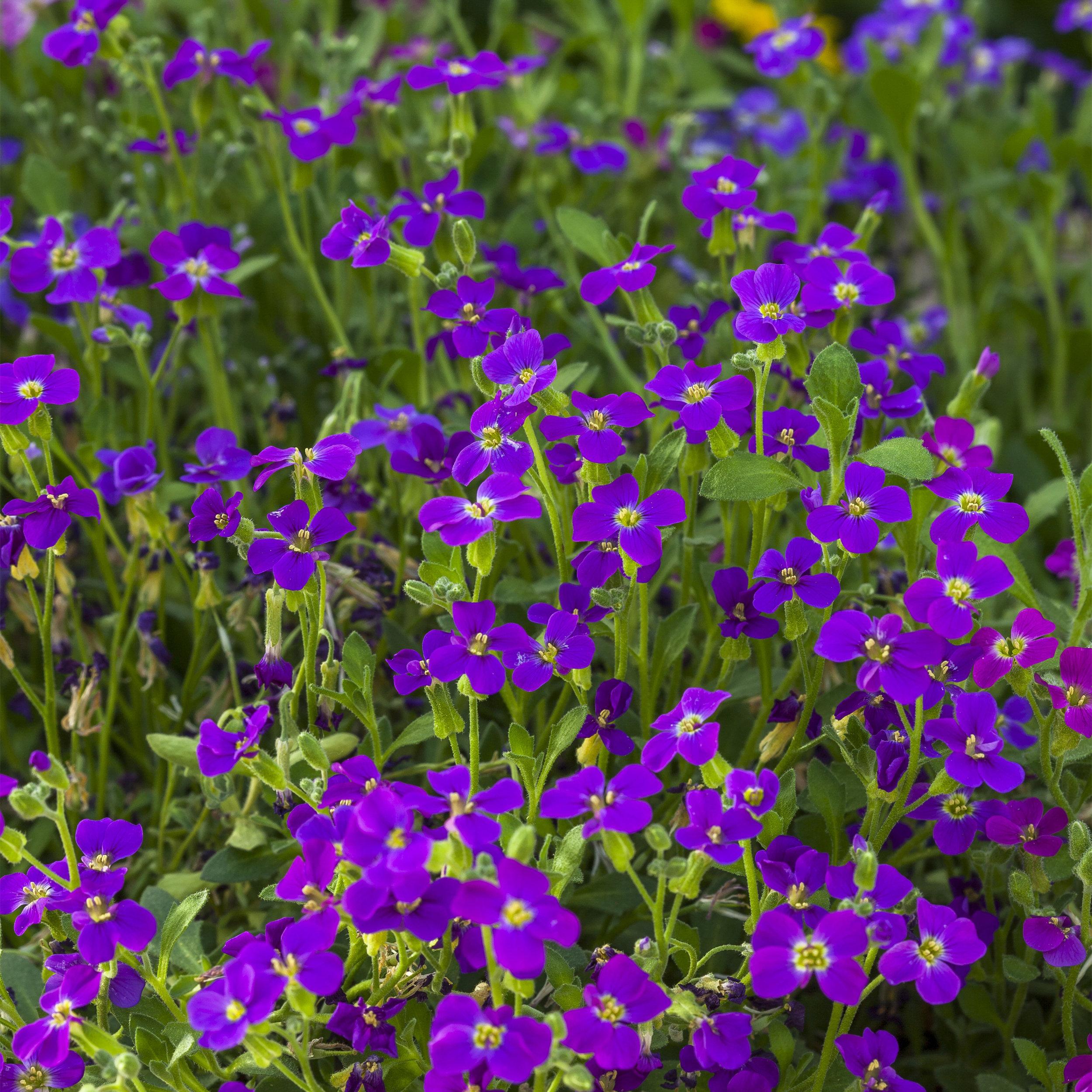 HR_Seed_Aubrieta_Audrey™_Audrey™_Purple_Shades_70028035.jpg