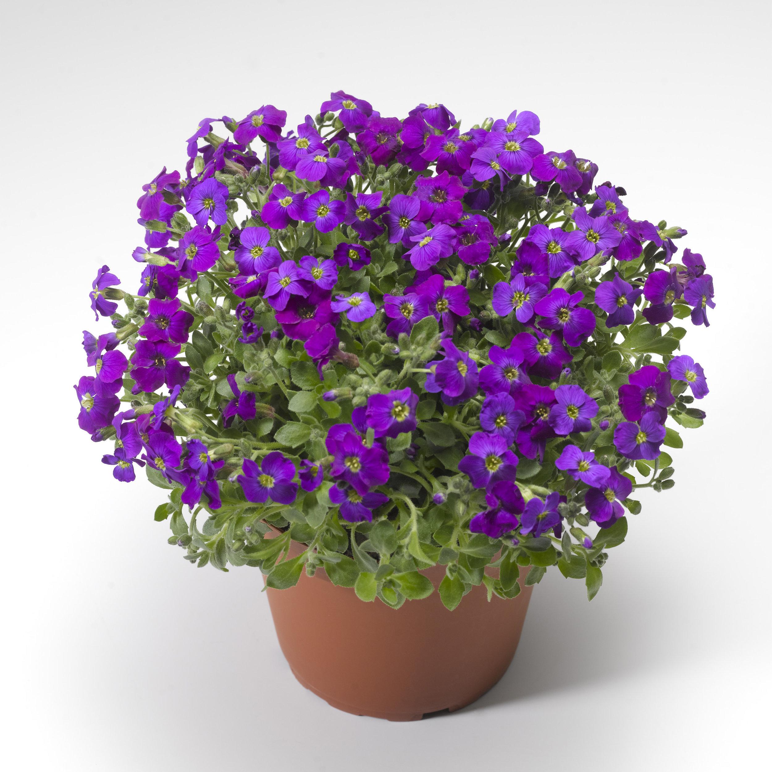 HR_Seed_Aubrieta_Audrey™_Audrey™_Purple_Shades_70028035_2.jpg
