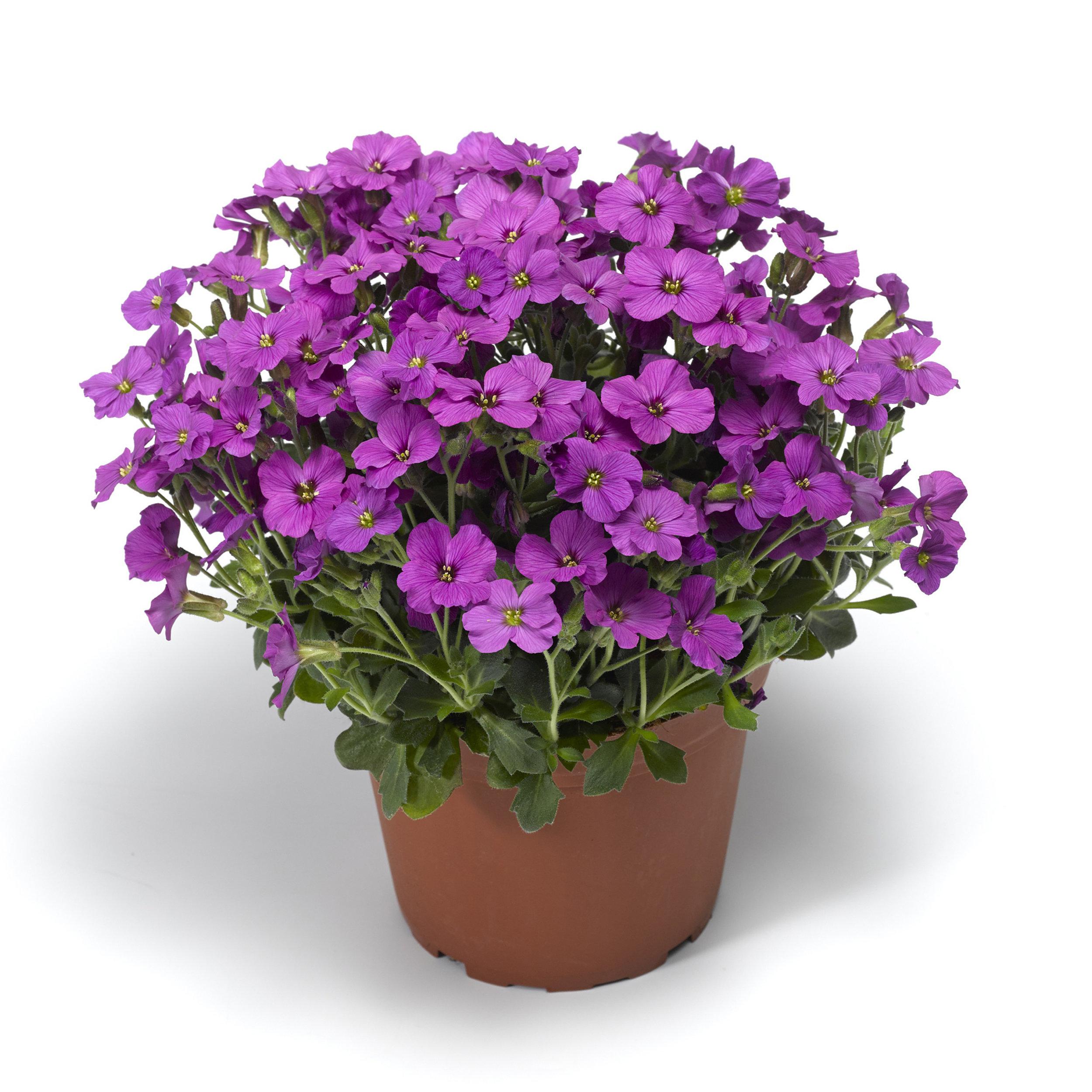 HR_Vegetative_Aubrieta_Axcent™_Axcent™_Antique_Rose_70052170_1.jpg